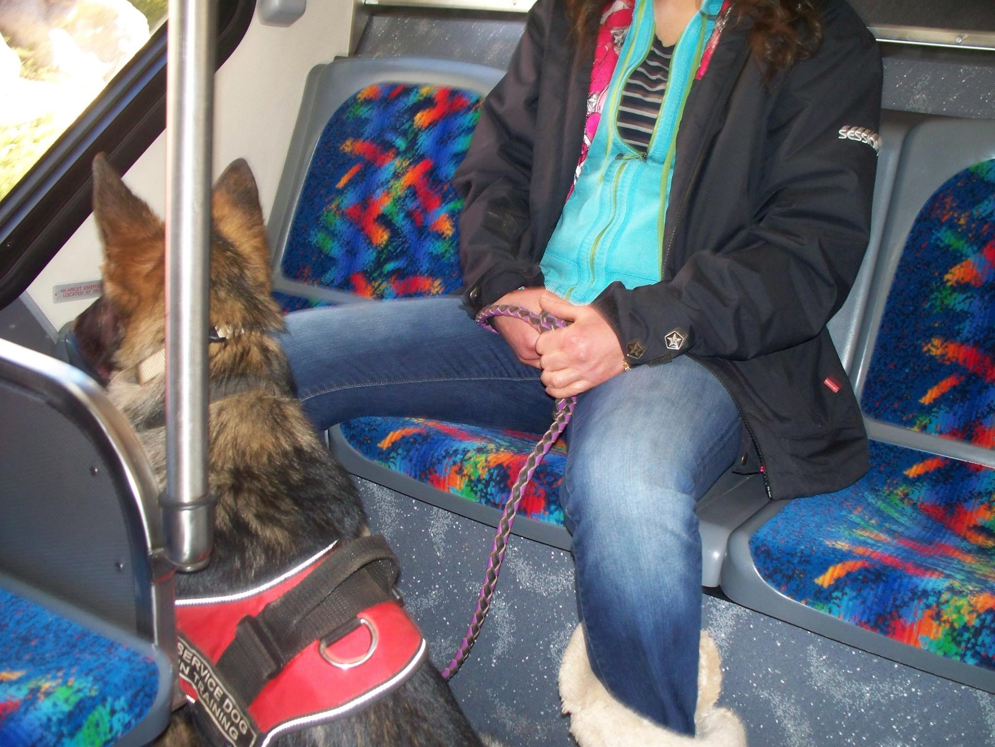 A shepherd riding on a bus while working in the socialization program. We do not stop socialization at the puppy level. We continue to advance a dog for as long as he/she is with us. This pup will make a well rounded family companion or she may be selected for service work.