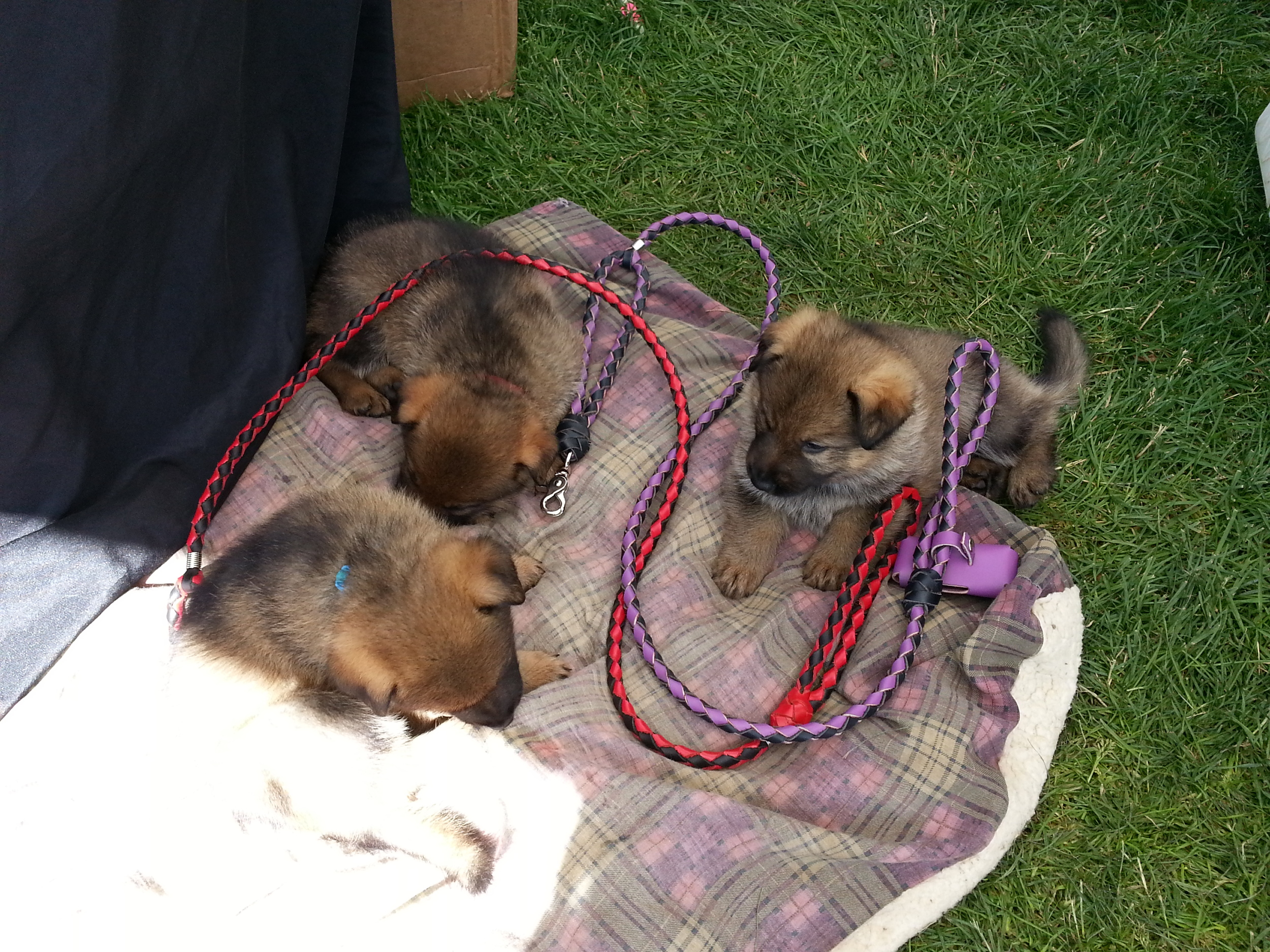 The pups have some quiet time at the Sedona Leather company booth. Pup approved leashes.