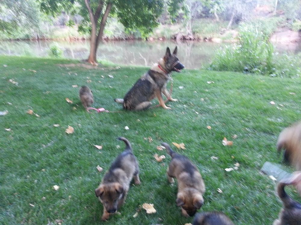Our German Shepherd Puppies