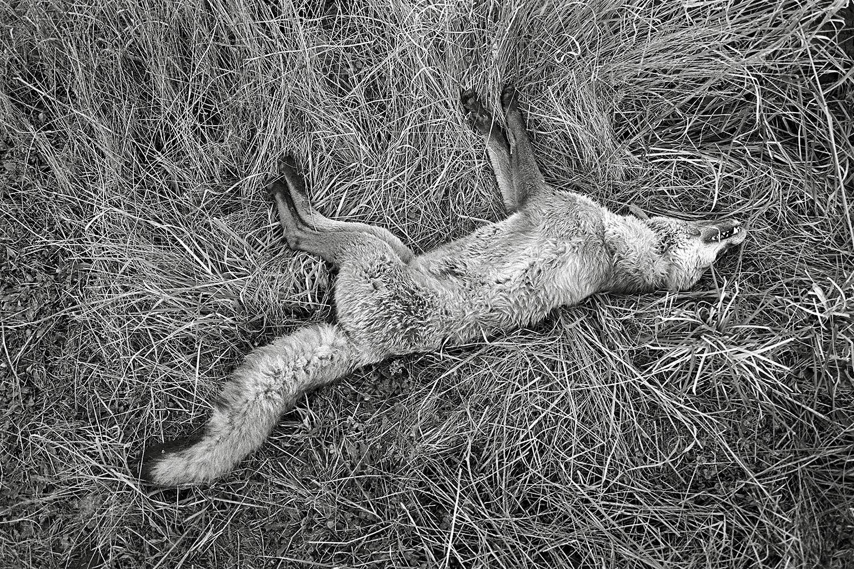 Dead-fox.jpg