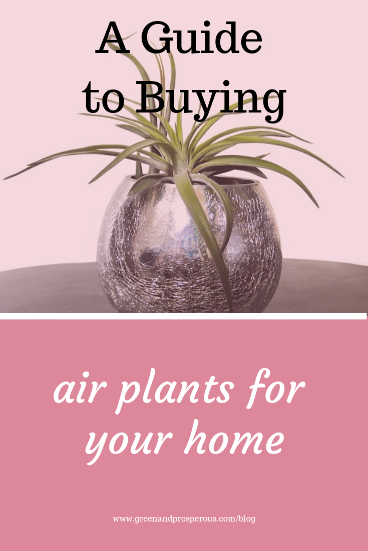 air plants for your home