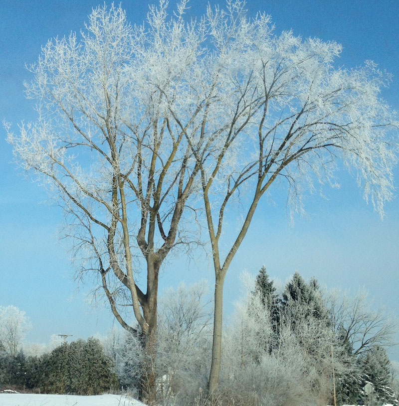 Frosty tree in Ann Arbor; photo by Sibel Ozer