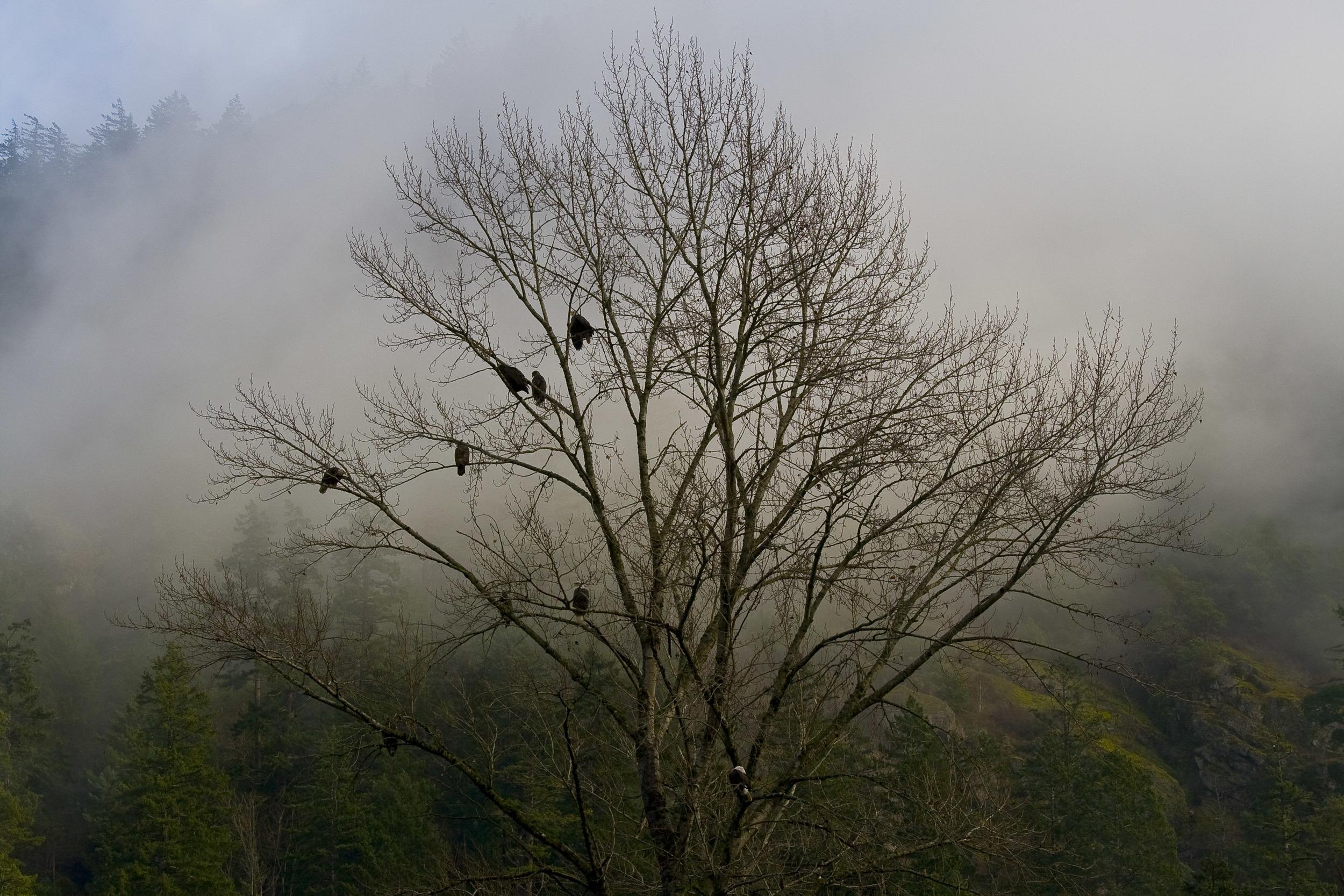 Eagles, Goldstream Park