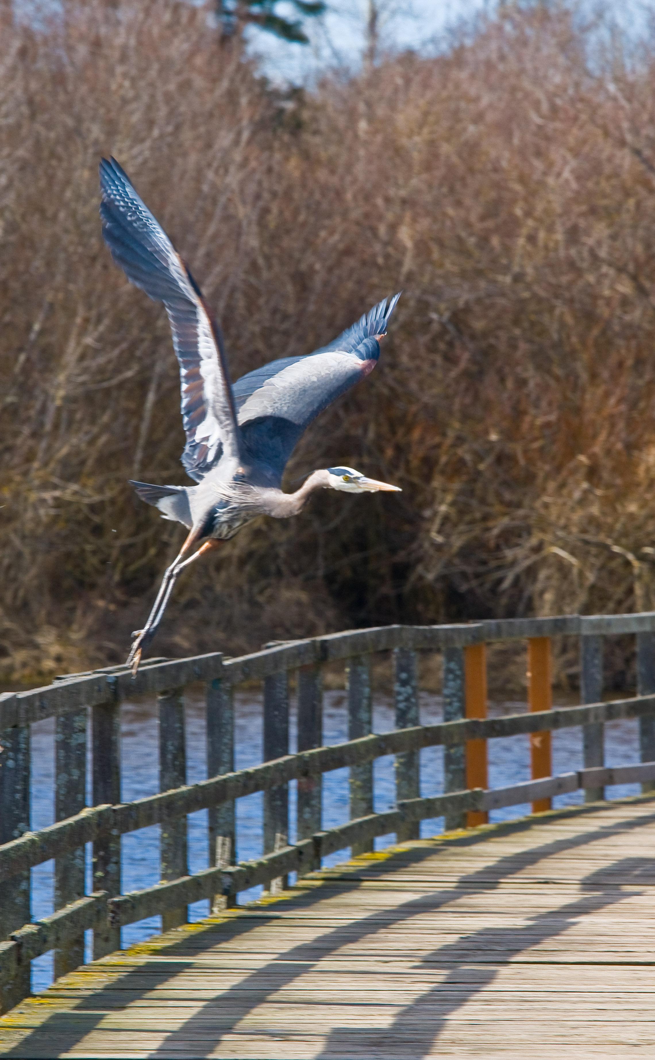 Blue Heron, Victoria