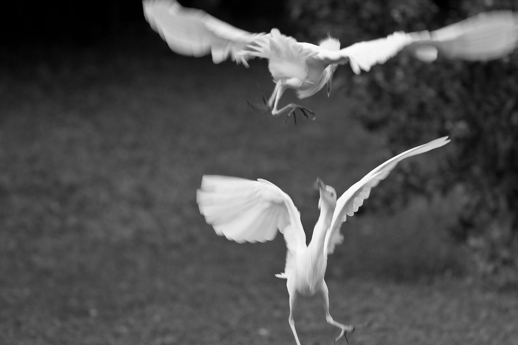Egrets, Hawaii