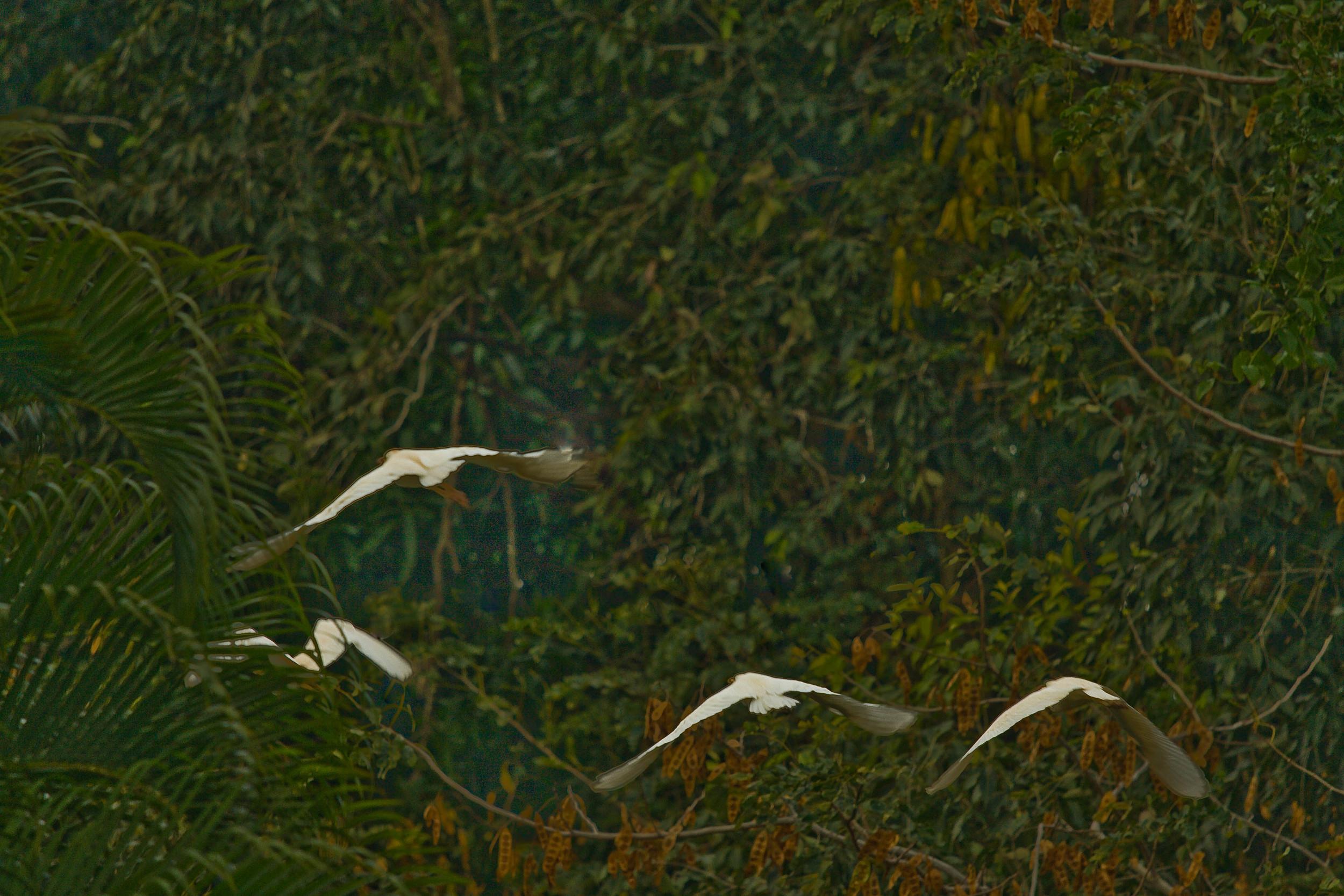 Egrets Hawaii