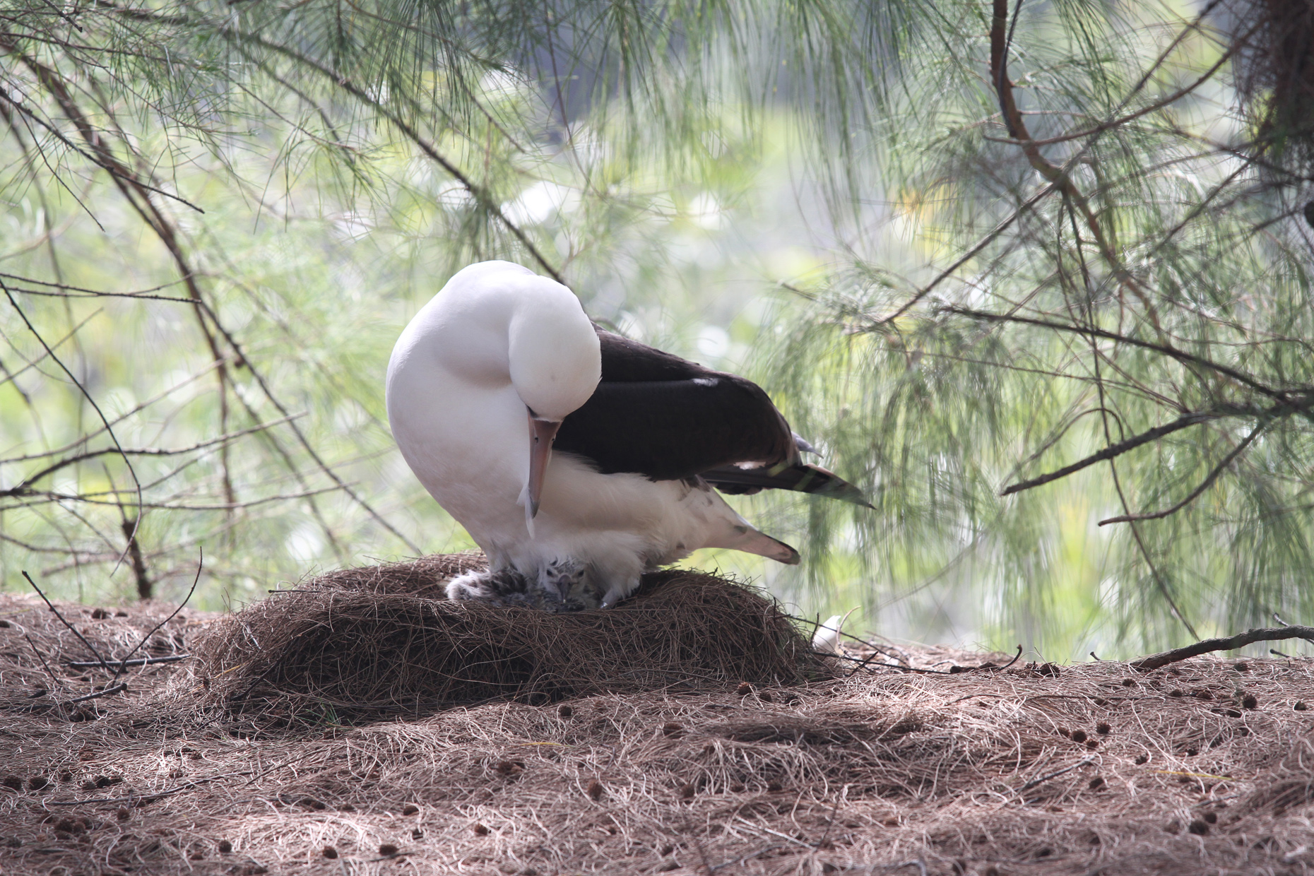 Layson Albatross Hawaii