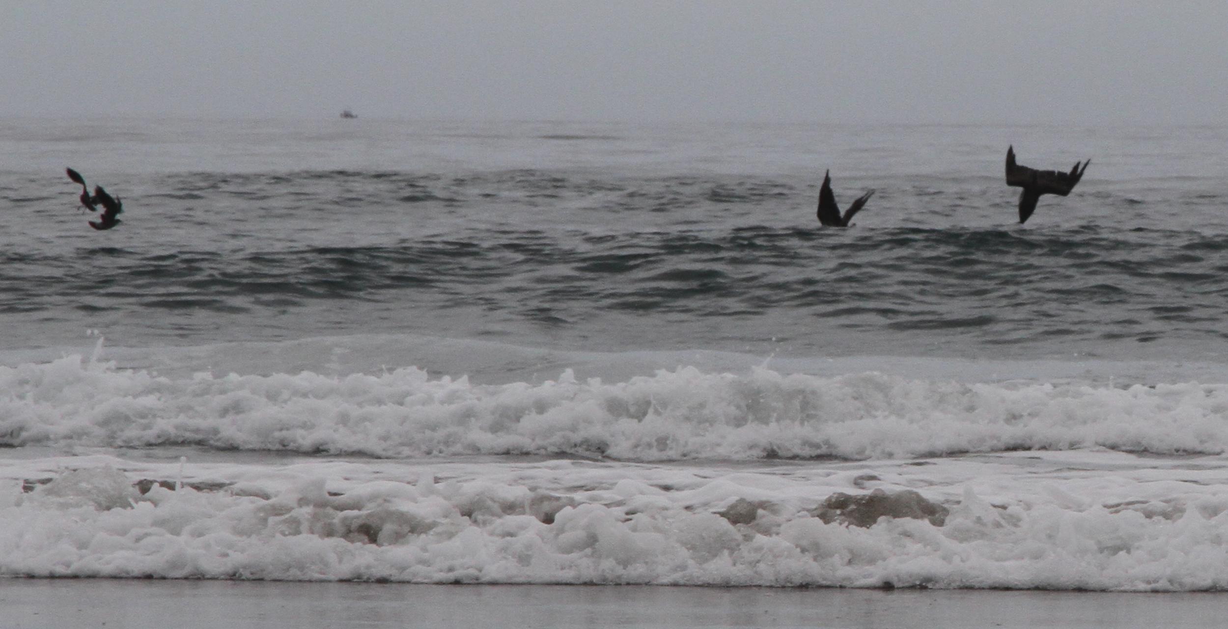 Pelicans, Oregon USA
