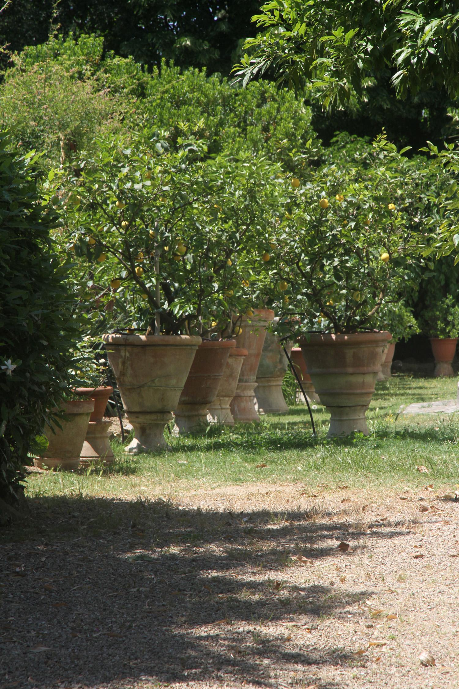 Lemon Trees, Fiesole