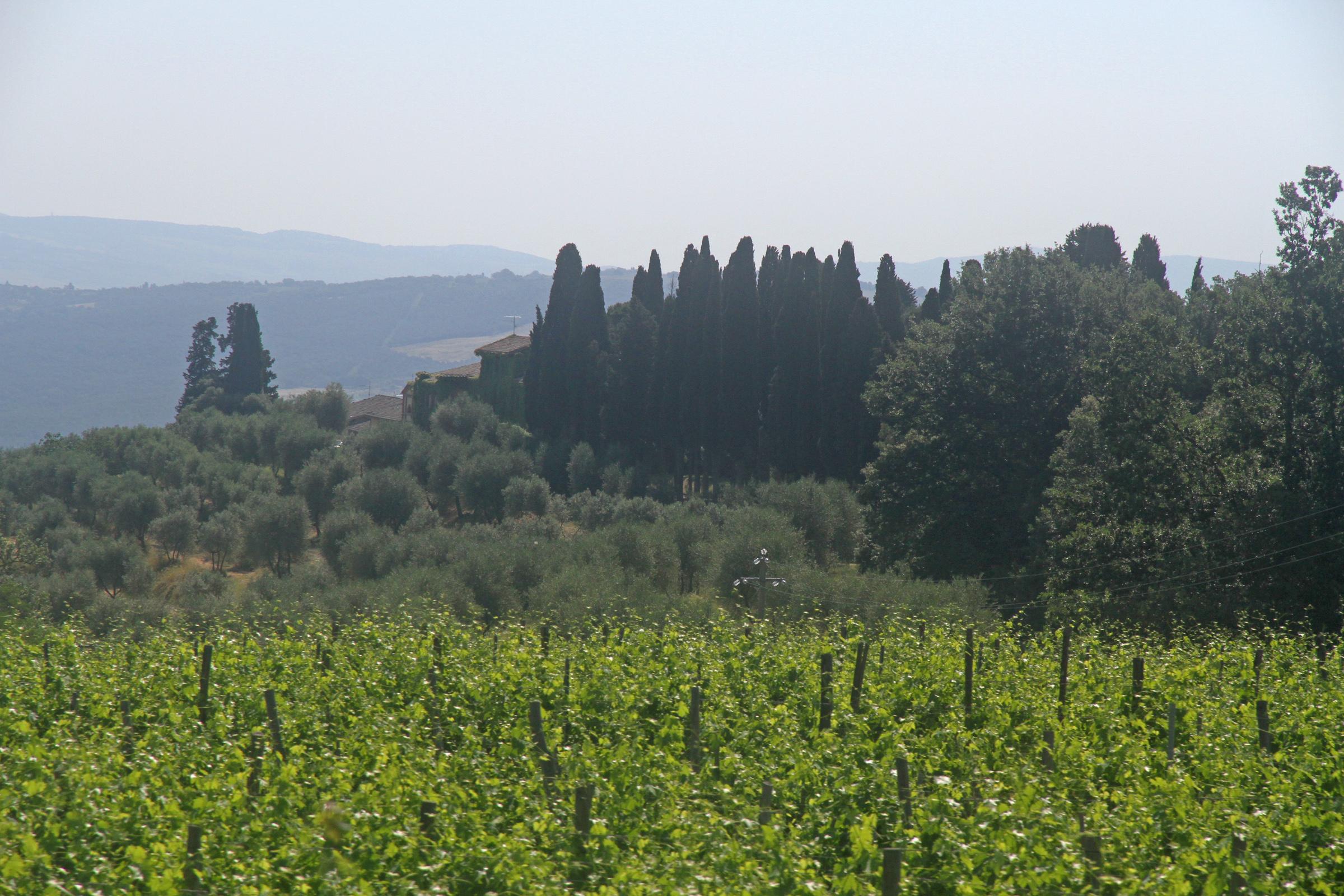 Vineyard, Tuscany
