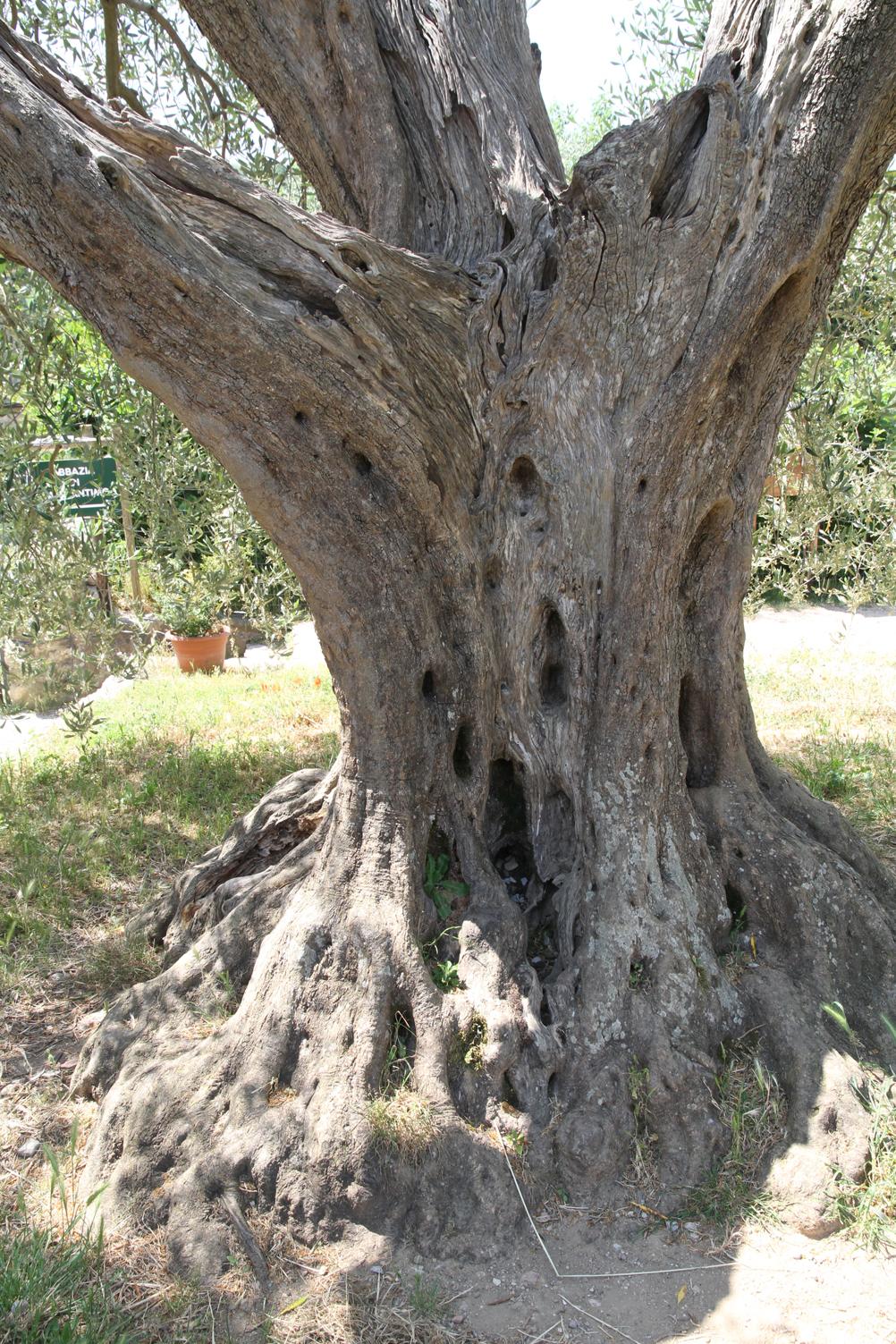 Olive Tree, San' Antimo