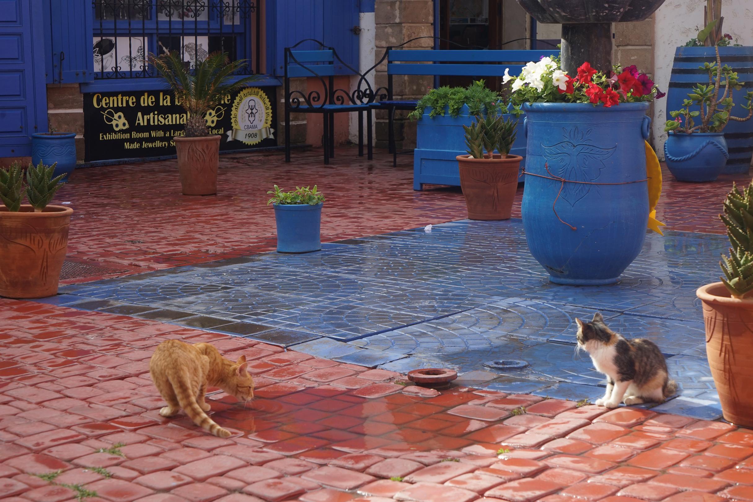 Essouaria, Moroccan cats, Morocco