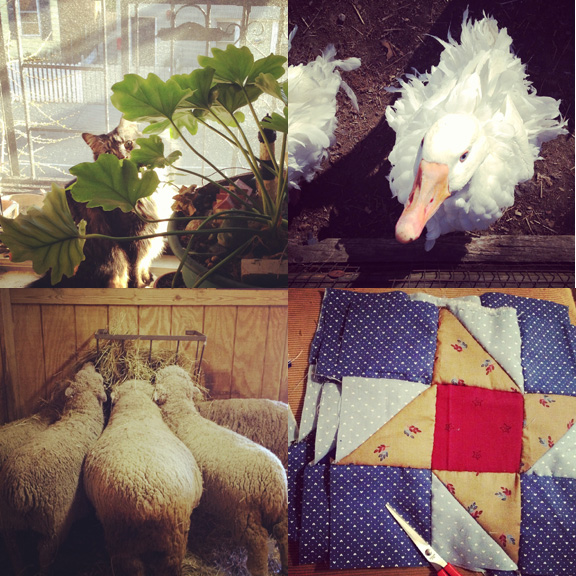 1) Flounder enjoys the sunny windowsill. 2) A very fancy duck. 3) Lunch time at the Prospect Park Zoo. 4) THe beginning of a quilt.