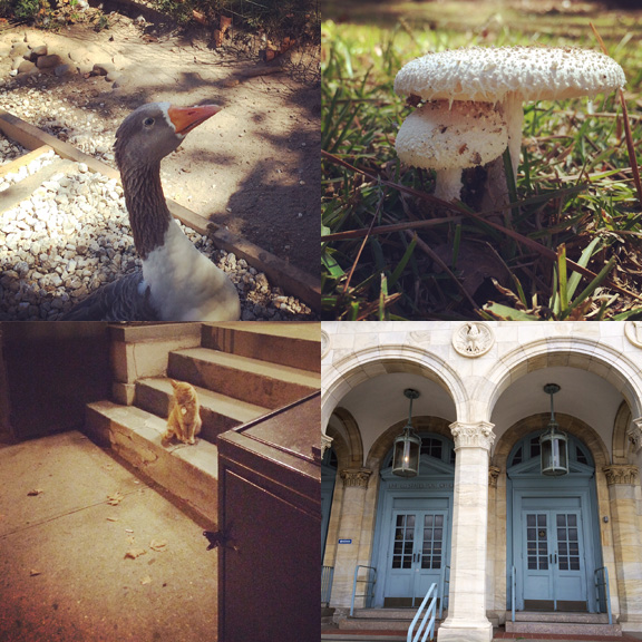 1) Neighbor goose. 2) Alabama style mushrooms. 3) Orange cats are almost everywhere in Park Slope. 4) An impressive Post Office.