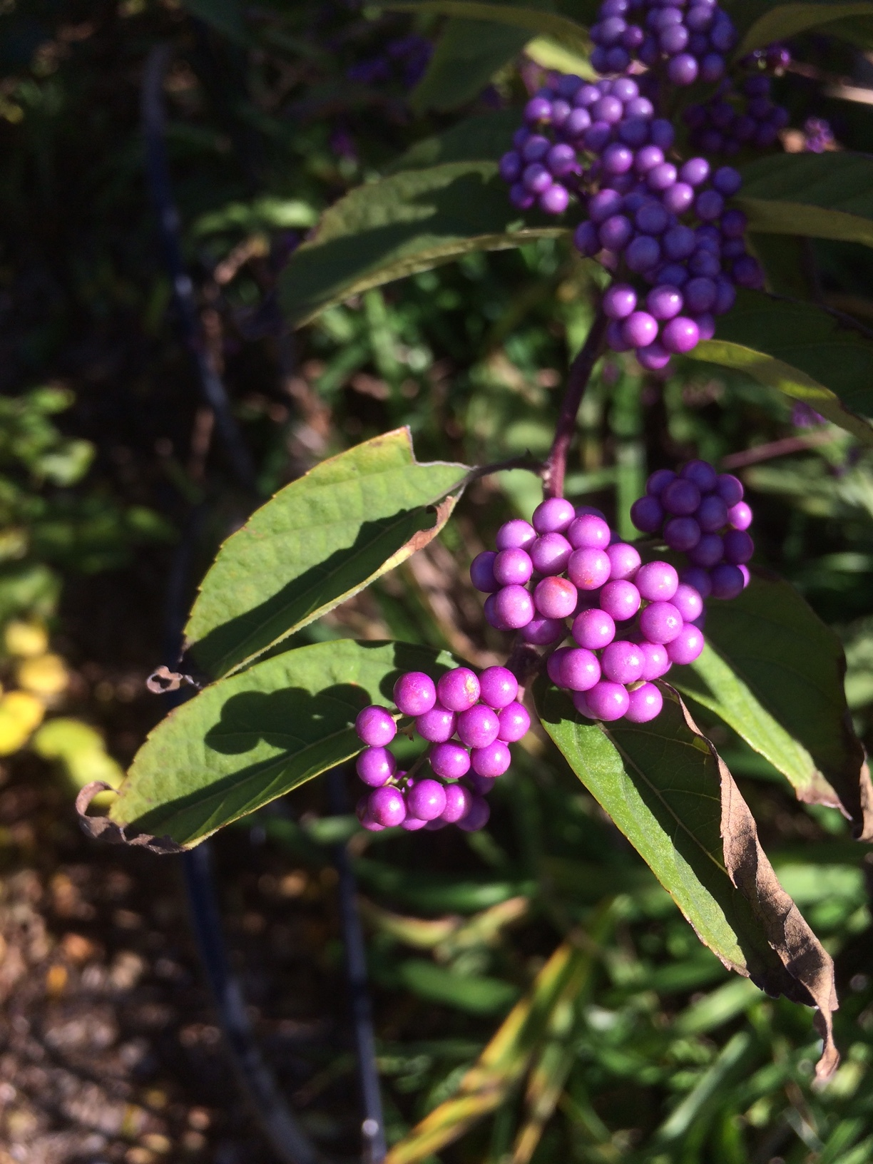 American Beauty Berries are busting out the extreme purple.
