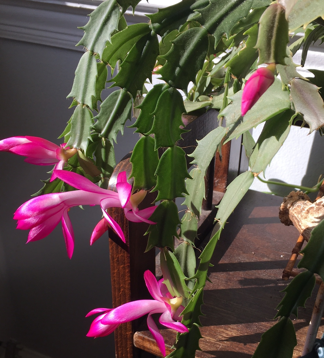 My christmas cactus blew up, too.