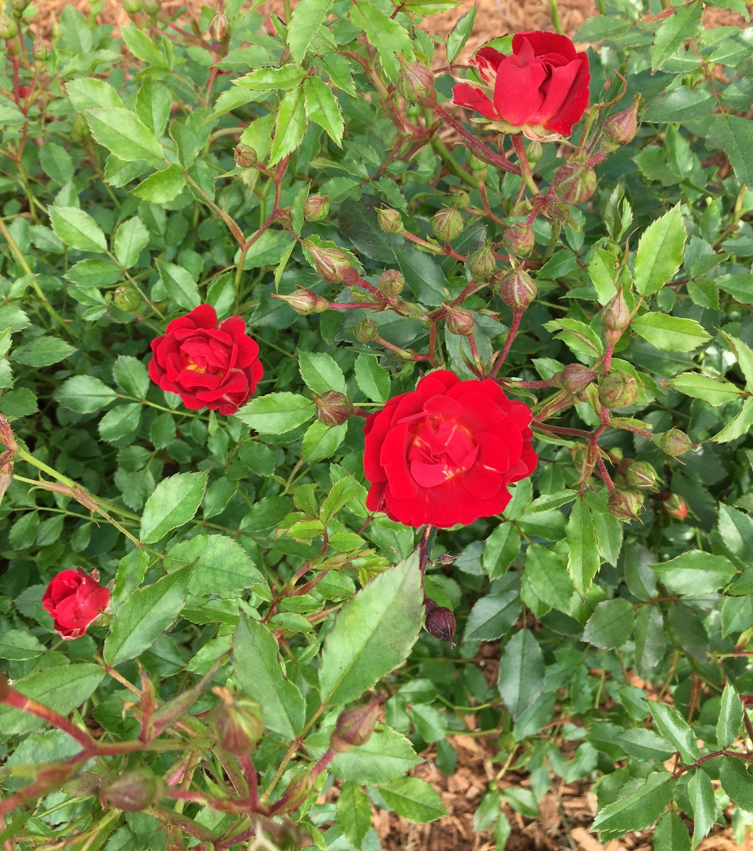 I want roses everywhere!!!
