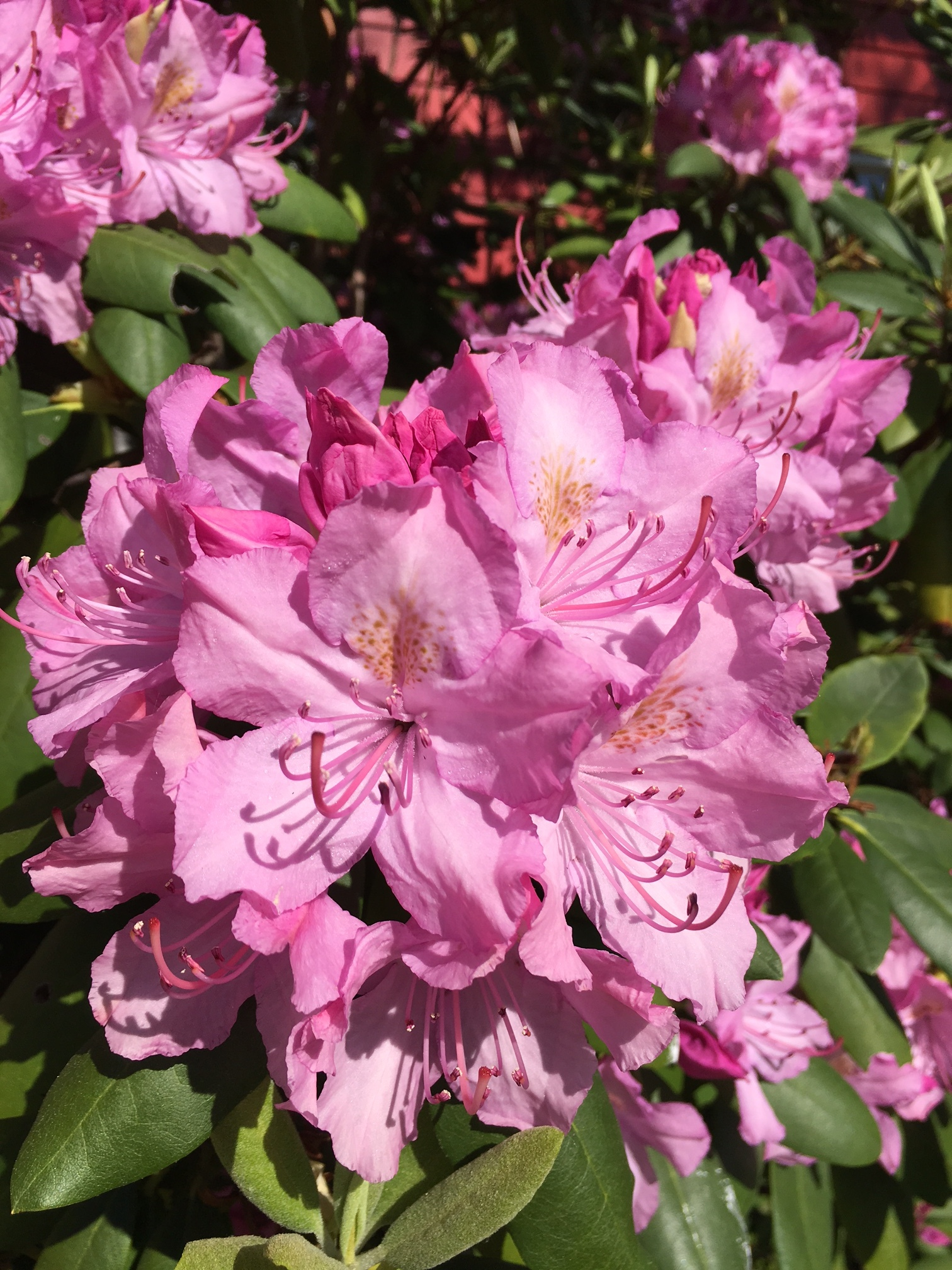 Rododendrons are native to NJ and on my list for the yard.
