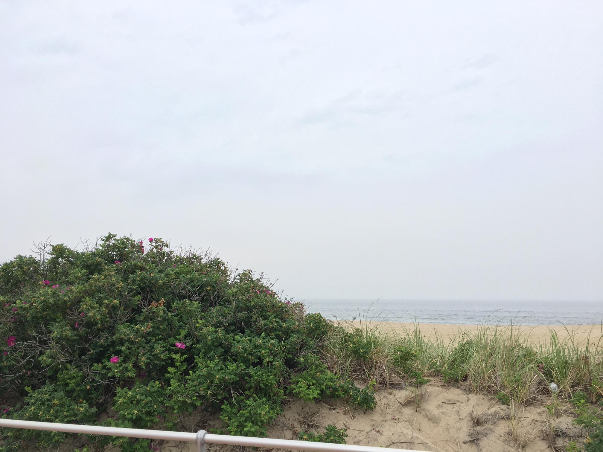 Beach grass and beach roses.