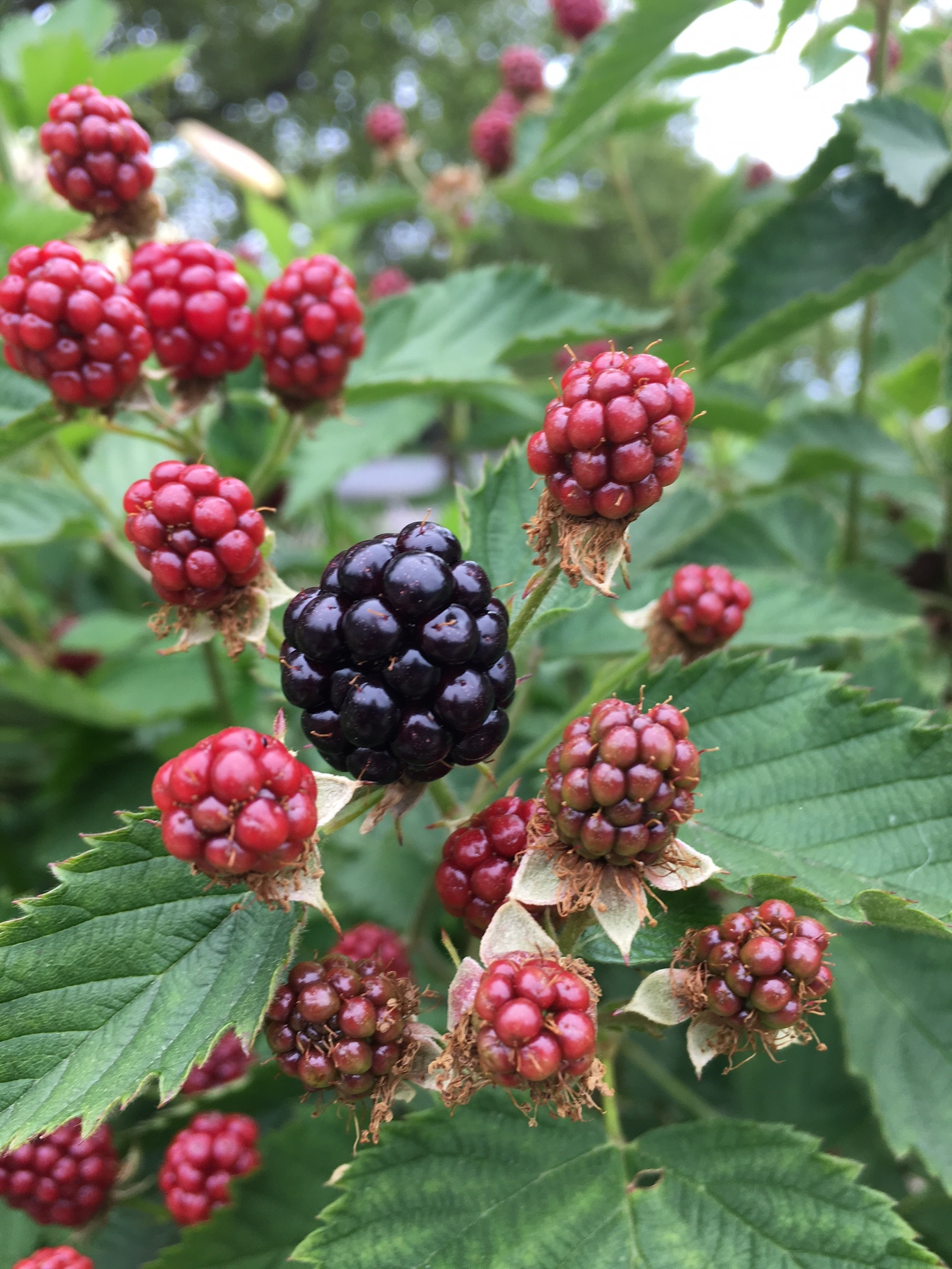 Blackberries from a neighbors yard are so tempting!