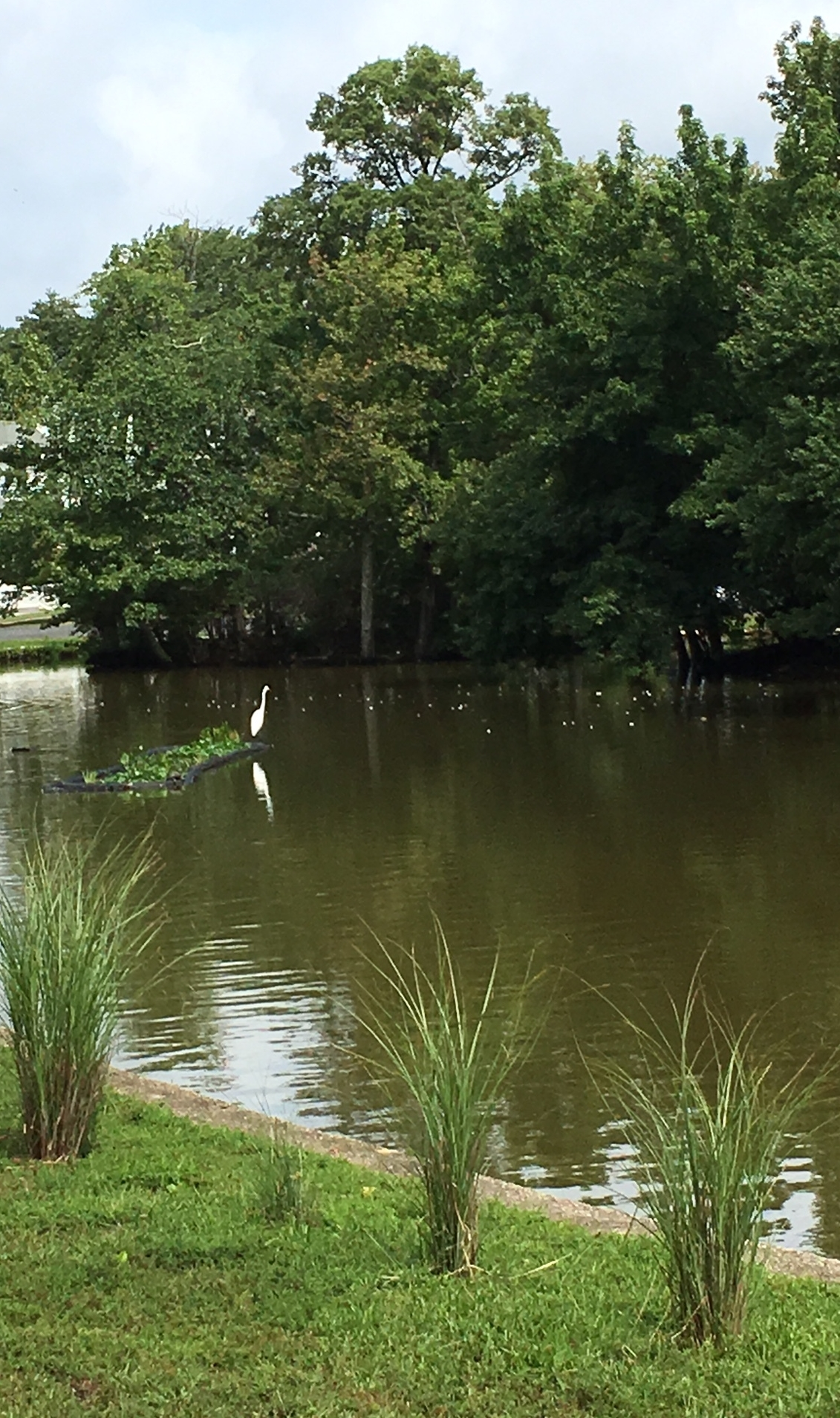 We spotted this crane and a Great Blue Heron on a walk to Sunset Lake.
