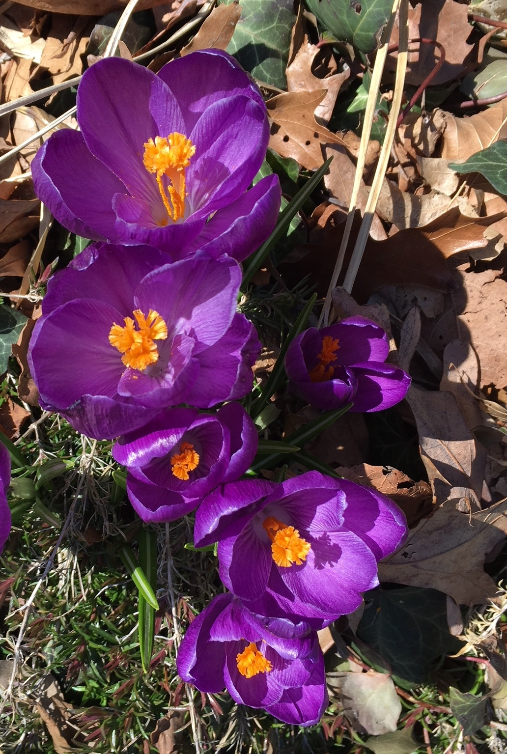 Croci have been popping up, then getting trampled all over the neighbor hood!