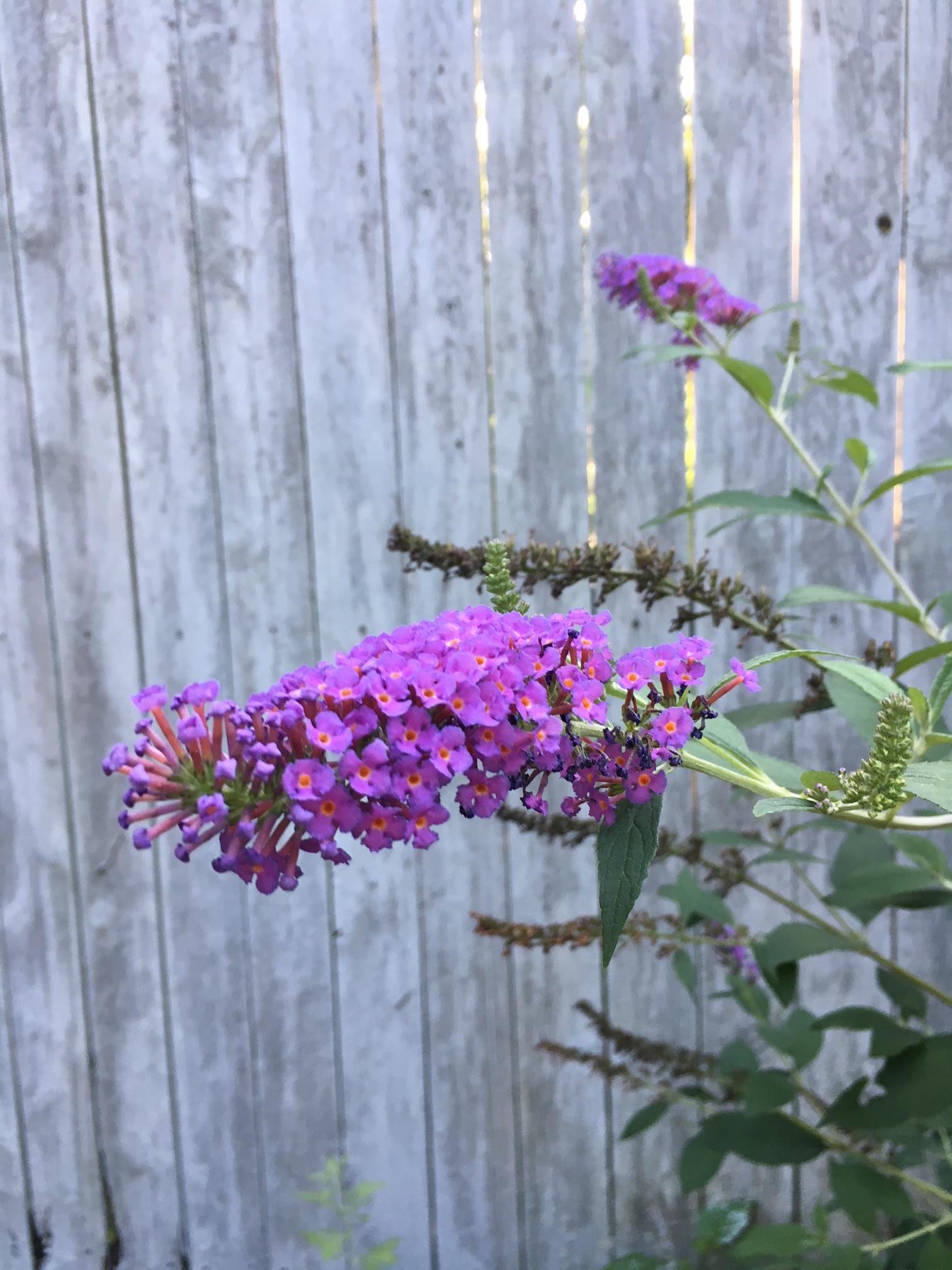 Butterfly bush.
