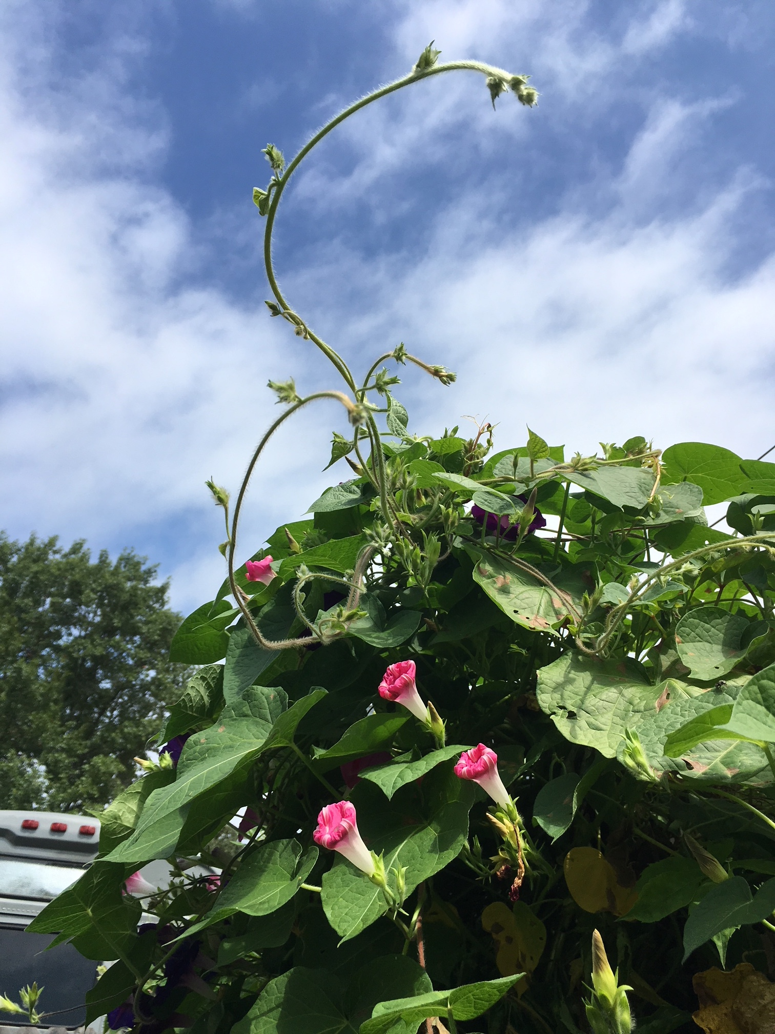 Our morning glories are happy.