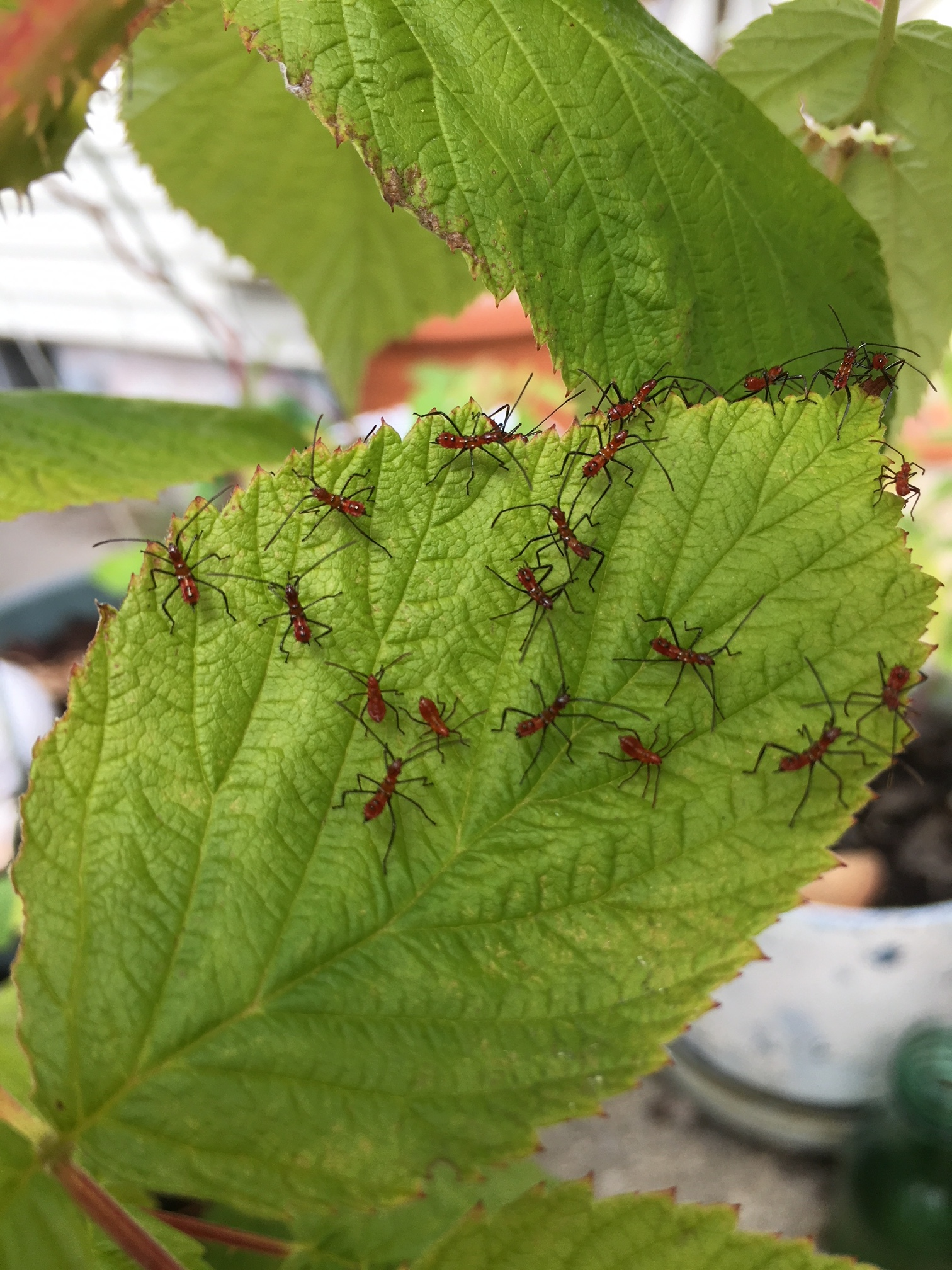 Our raspberries were briefly infested with these little bugs.