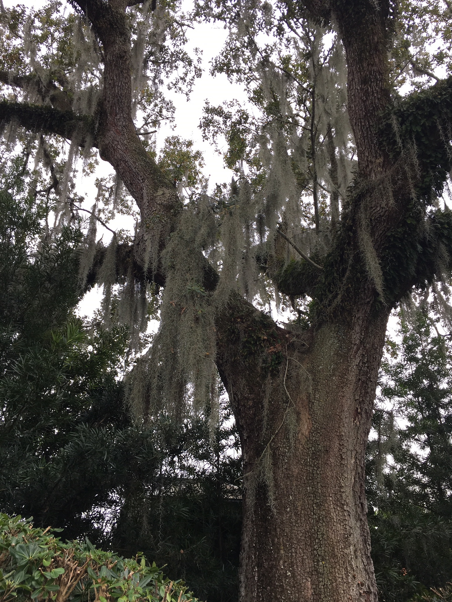 I will never get over Spanish moss.