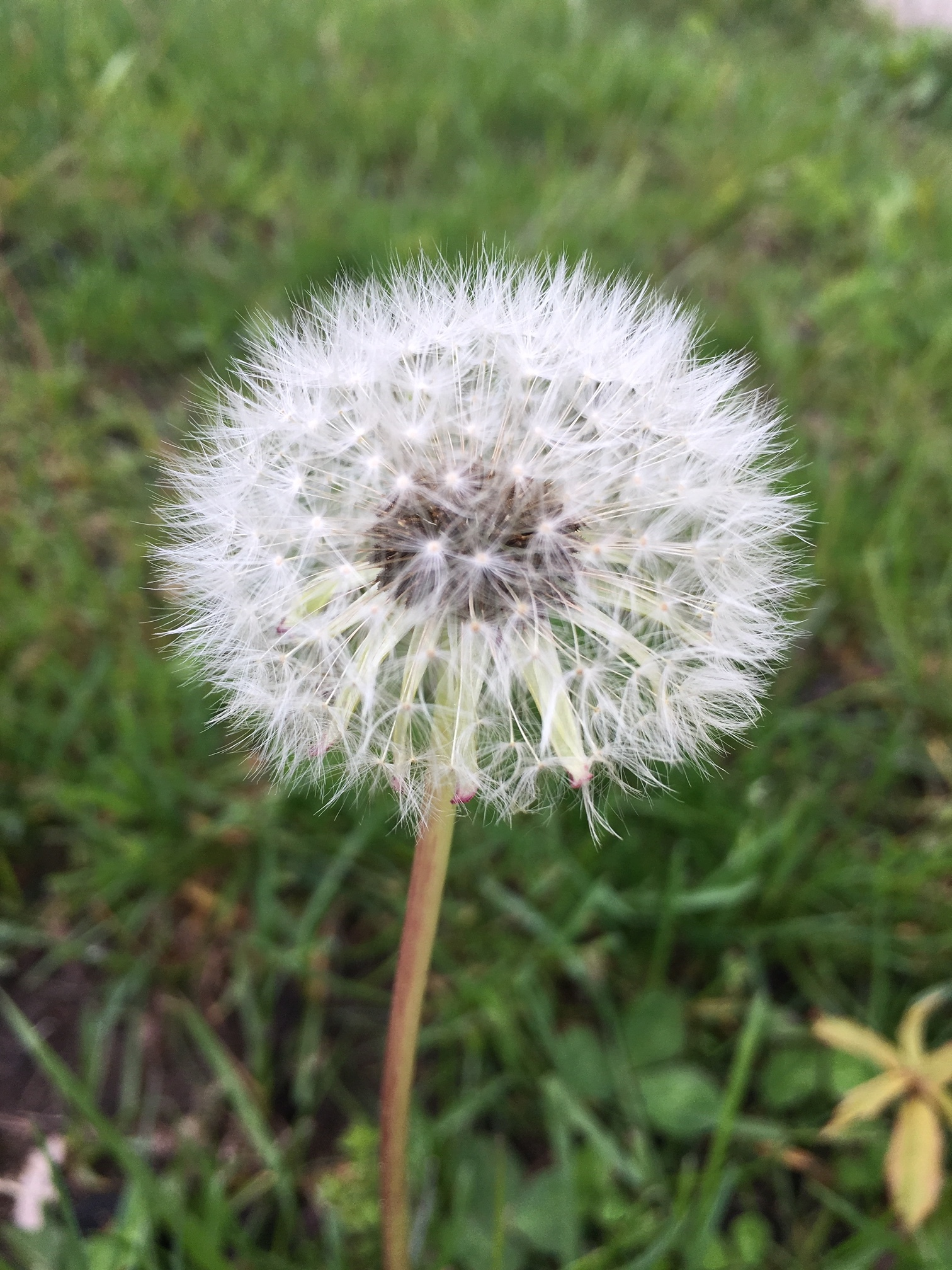 I didn't see too many dandelions this month, but I did see some dandy fluffs.