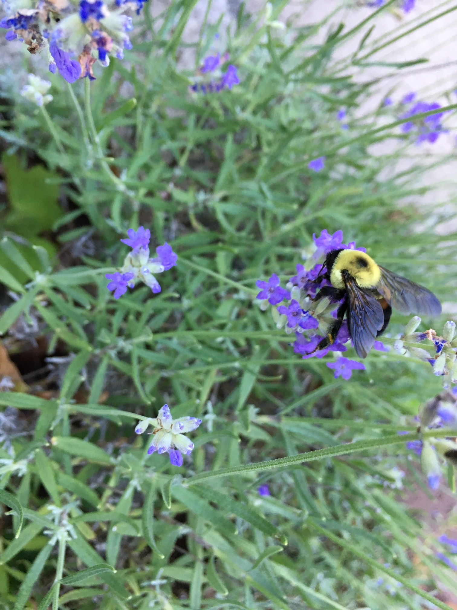 We didn't plan(t) well for pollinaters this year, but the bees loved our little lavender.