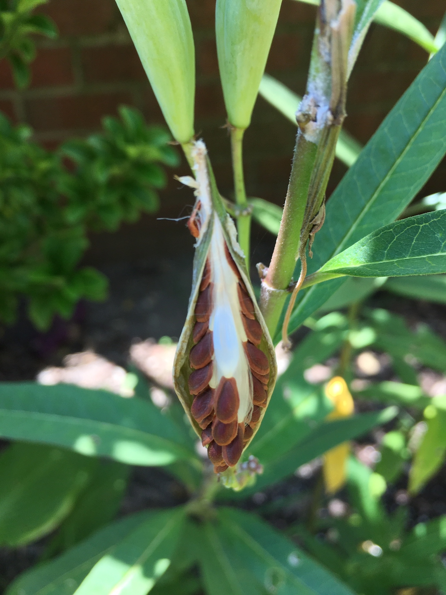 Our first milkweed pods!