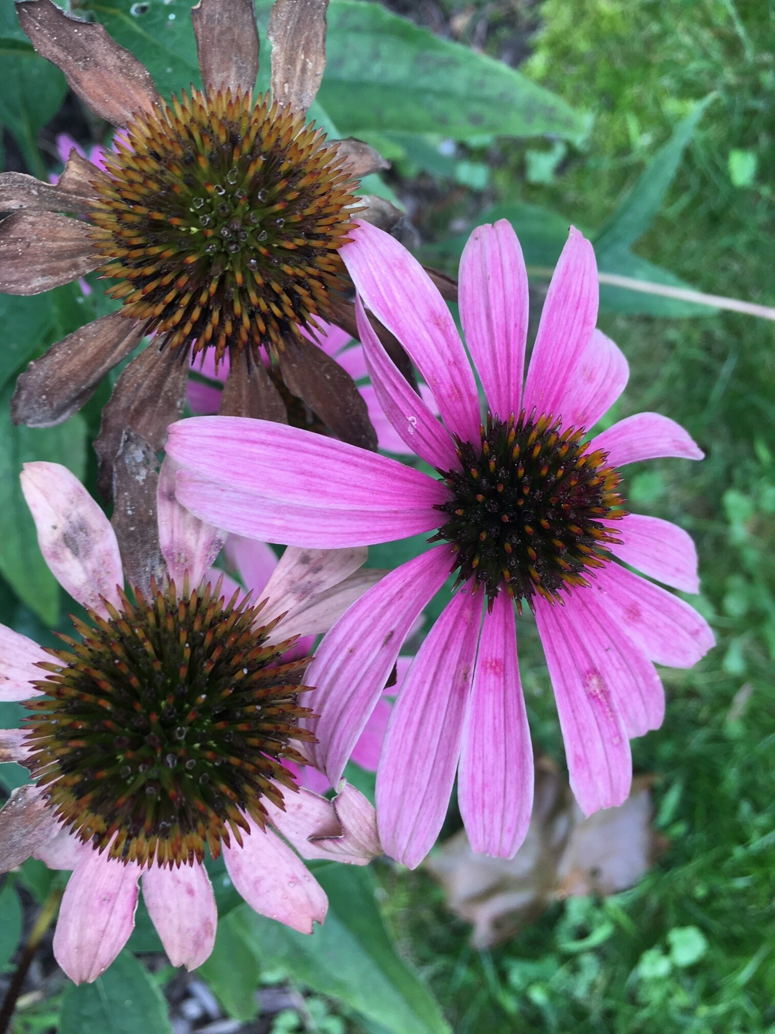 echinacea are one of my all time favorites.