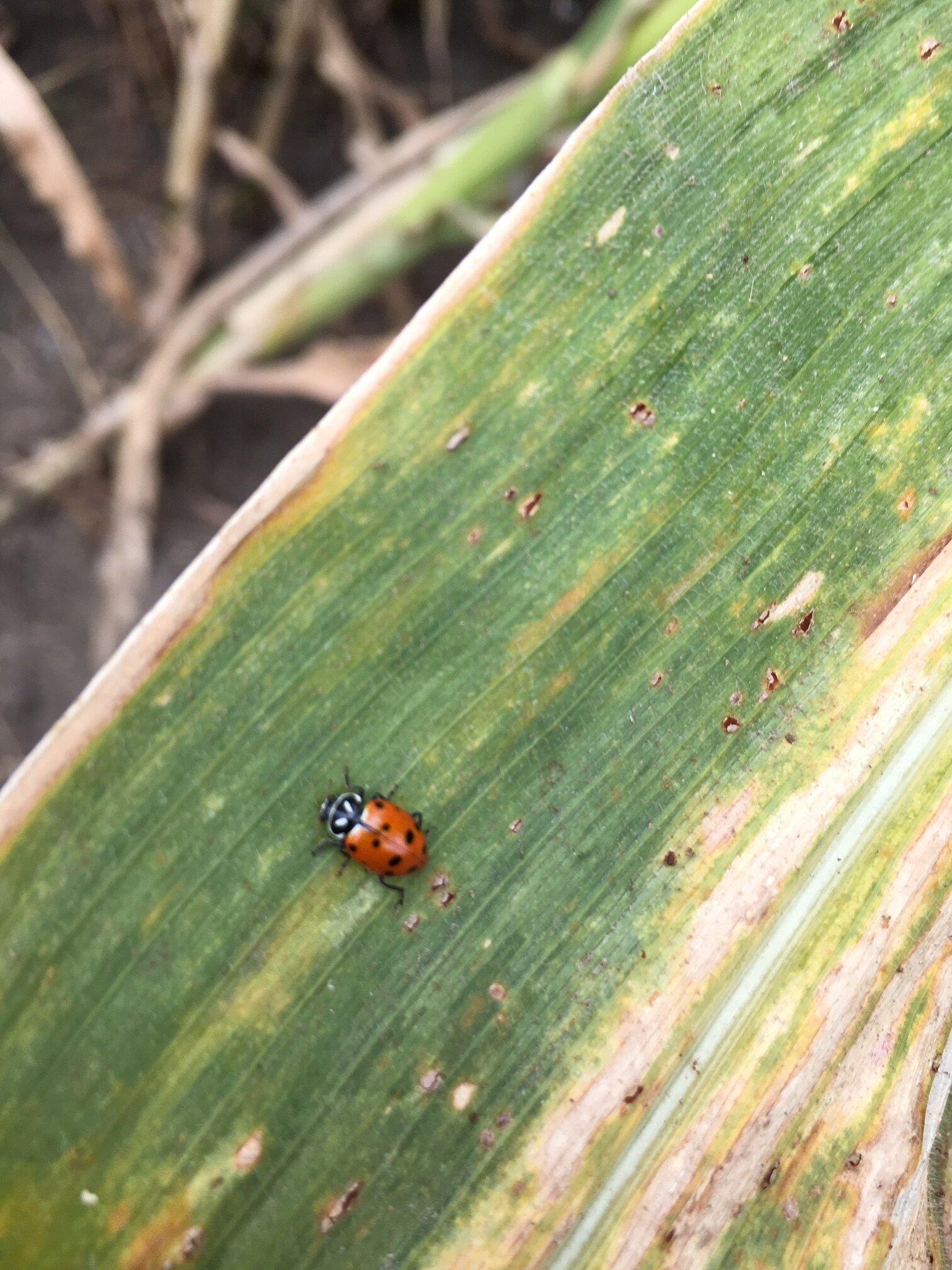 Met this fellow in a corn maze.