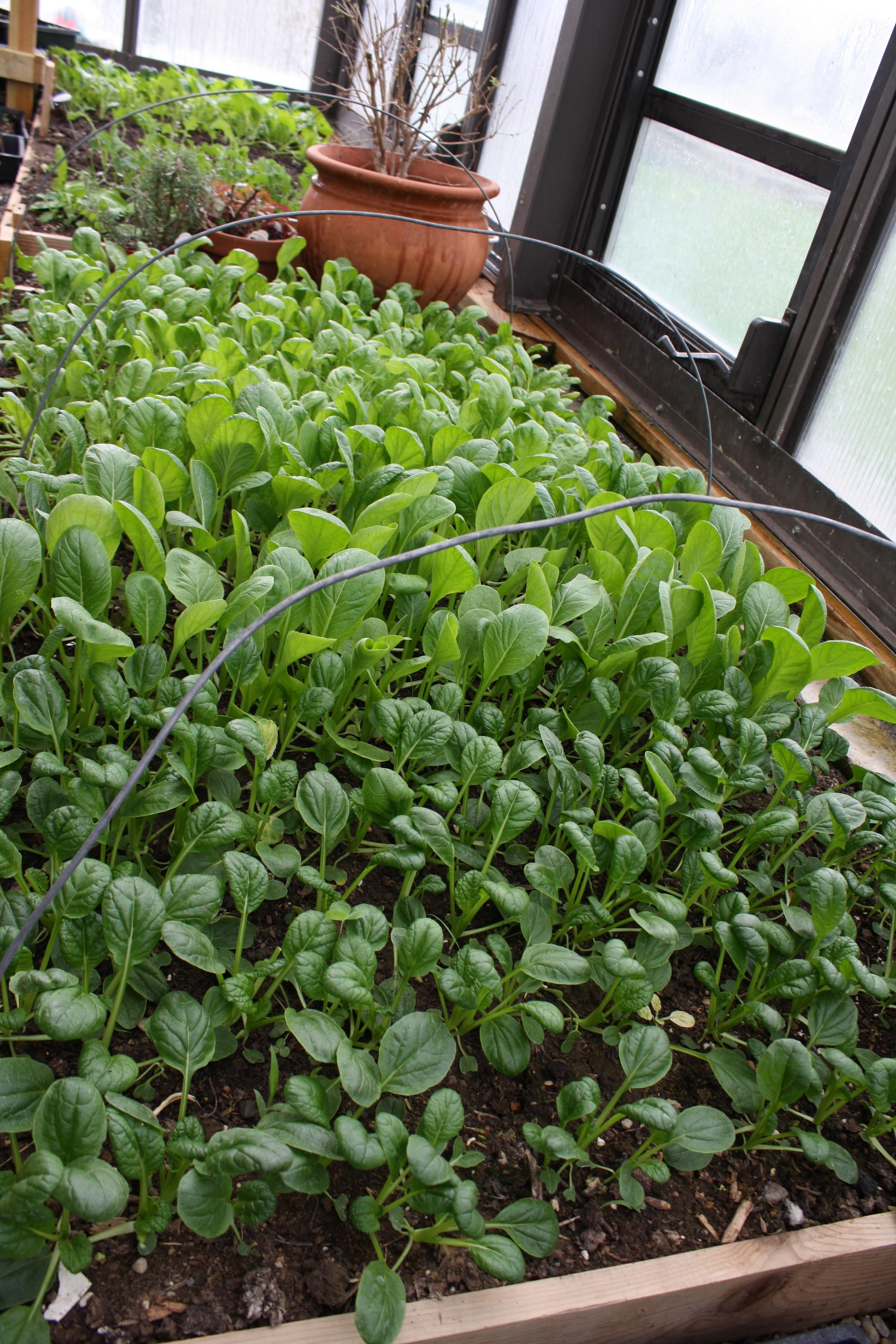 Yukina Savoy, Vitamin Green, Komatsuna Summerfest, Spinach in Greenhouse this April