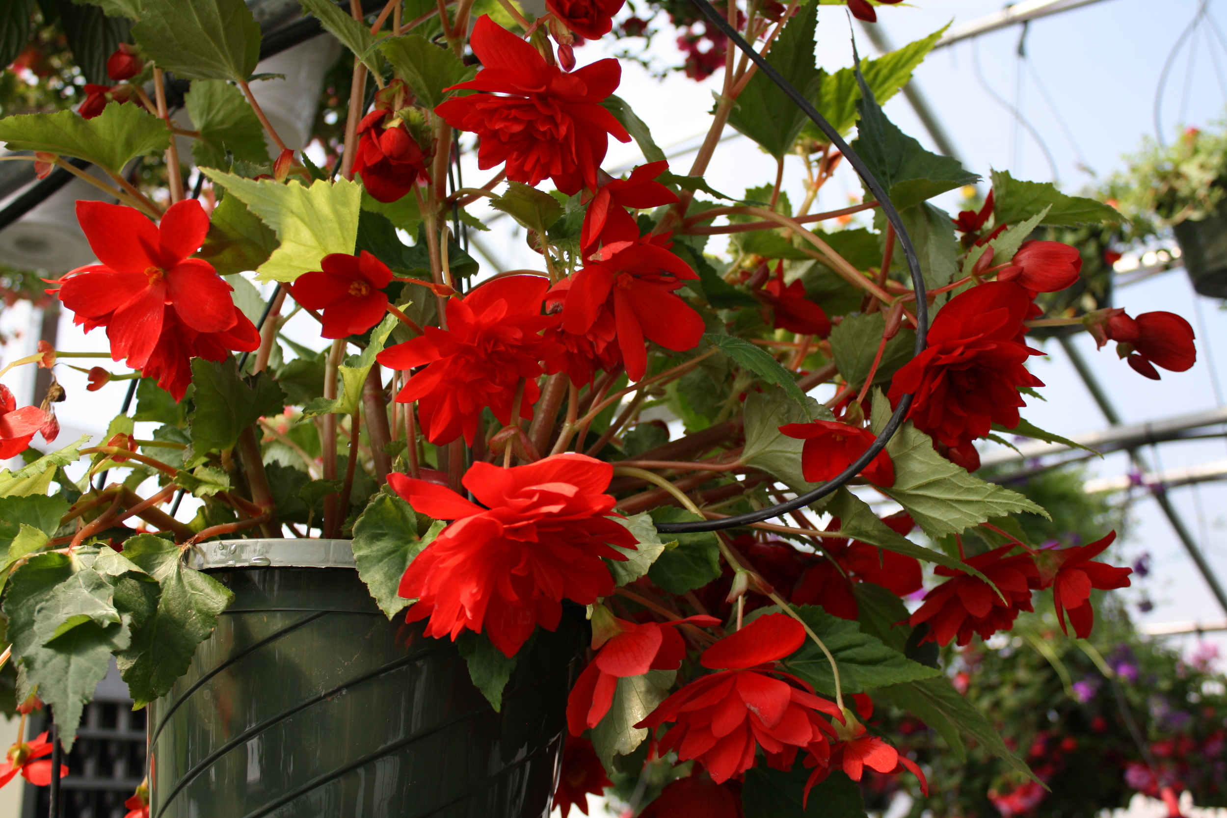 non-stop tuberous begonias thrive with some morning sun and rest day shade