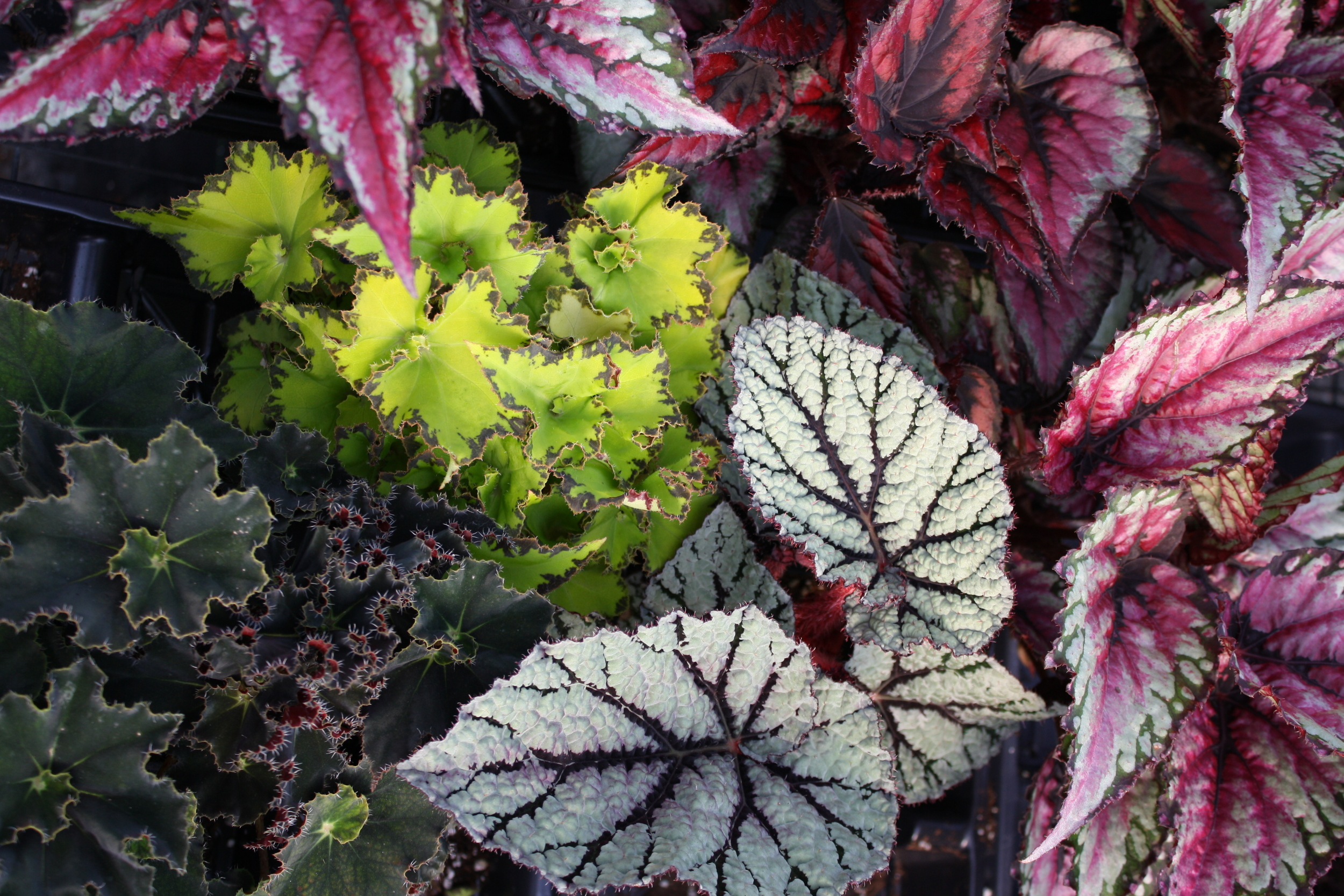 assorted Rex Begonias... beautiful foliage for shade that can be brought in and overwintered in bright window.