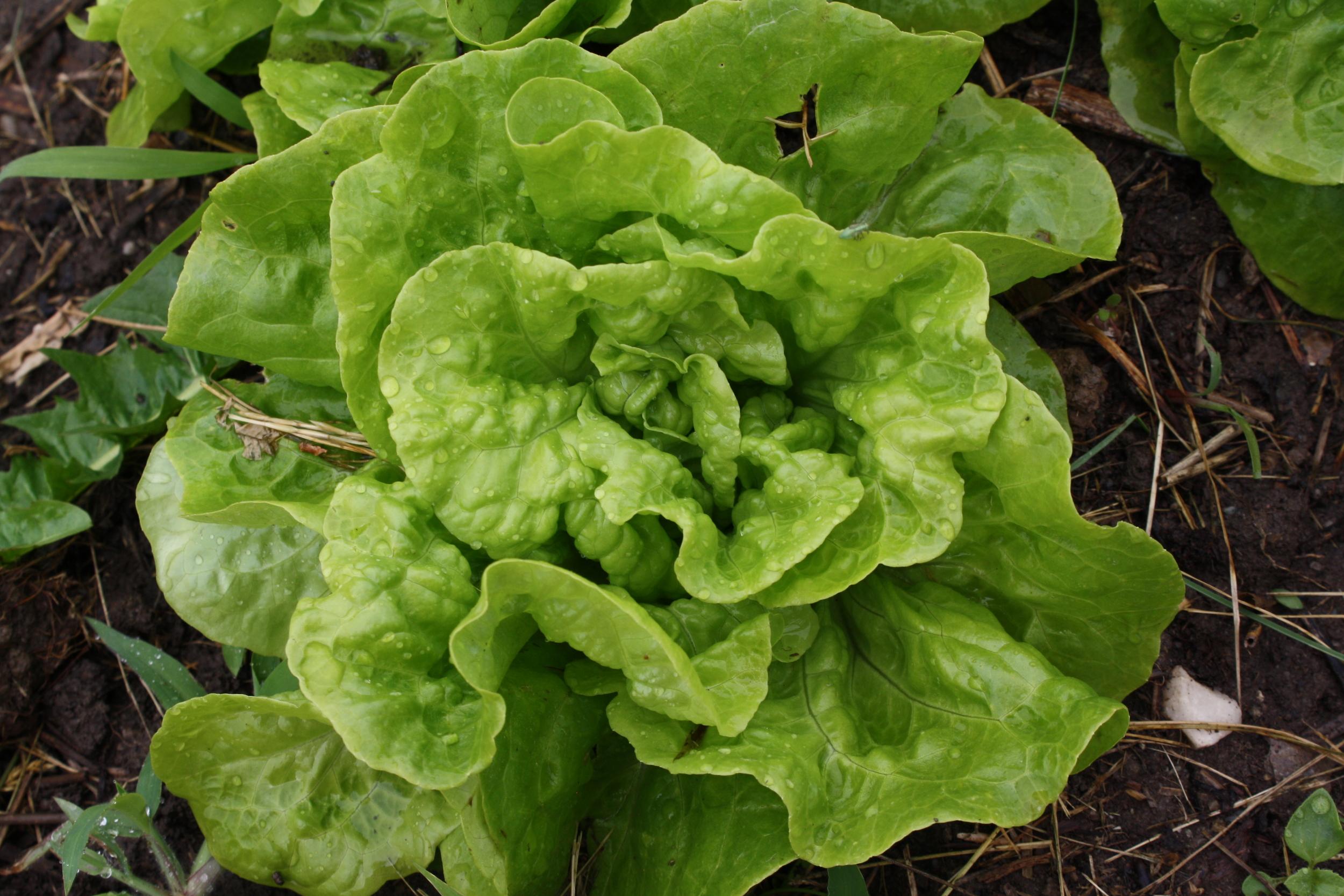 'Tom Thumb' dwarf butterhead lettuce