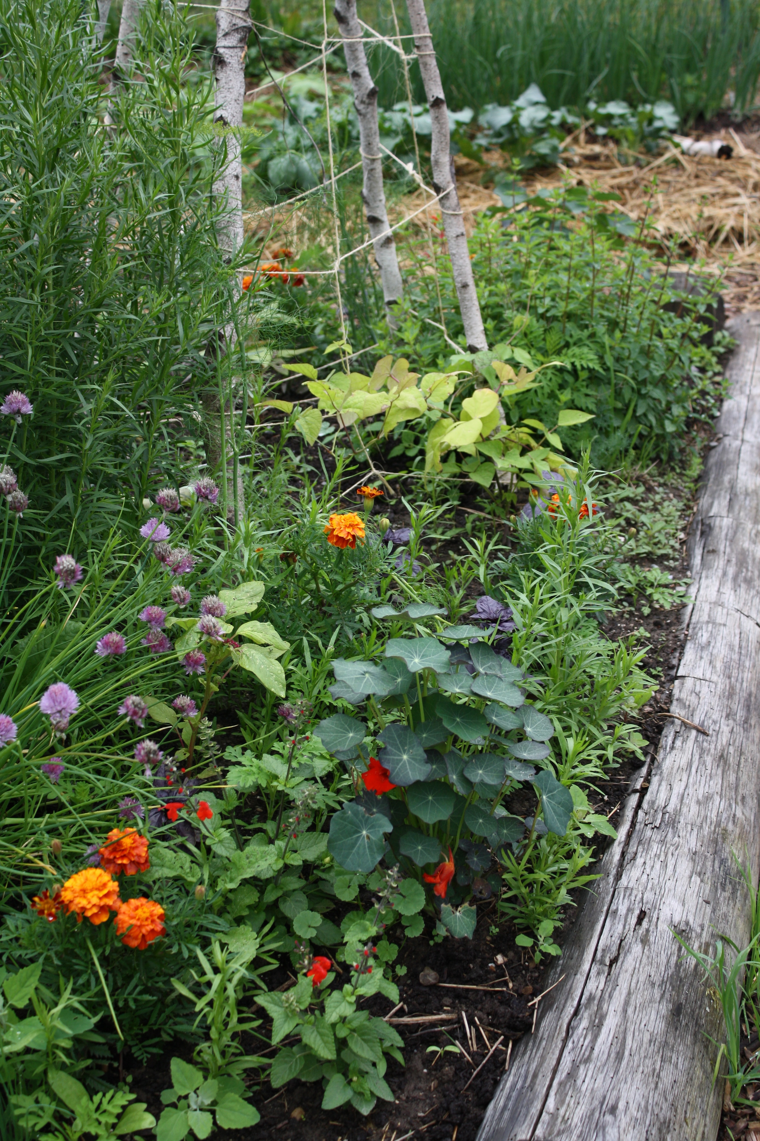 Flowers starting to bloom in herb bed/focal point of kitchen garden