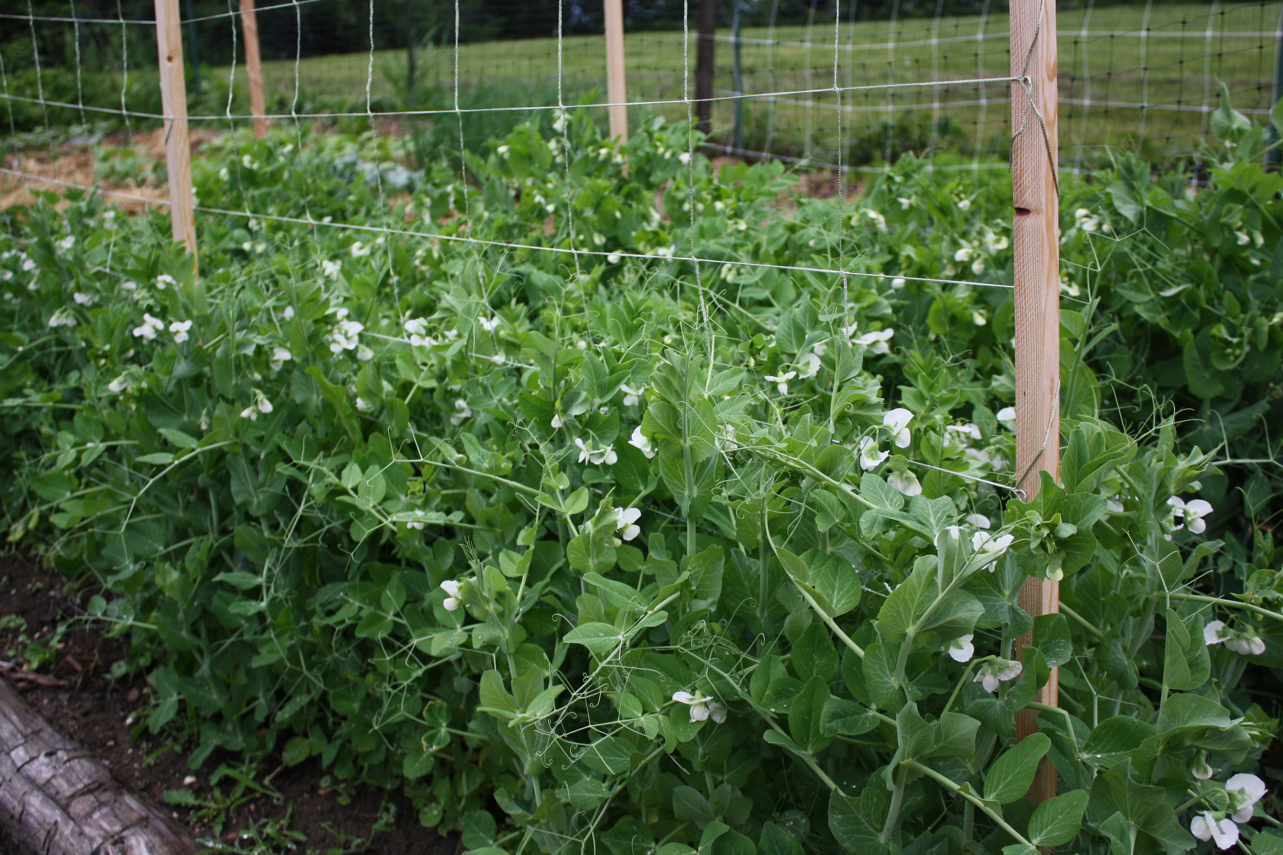 'Lincoln' and 'Petit Pois' shell peas blooming