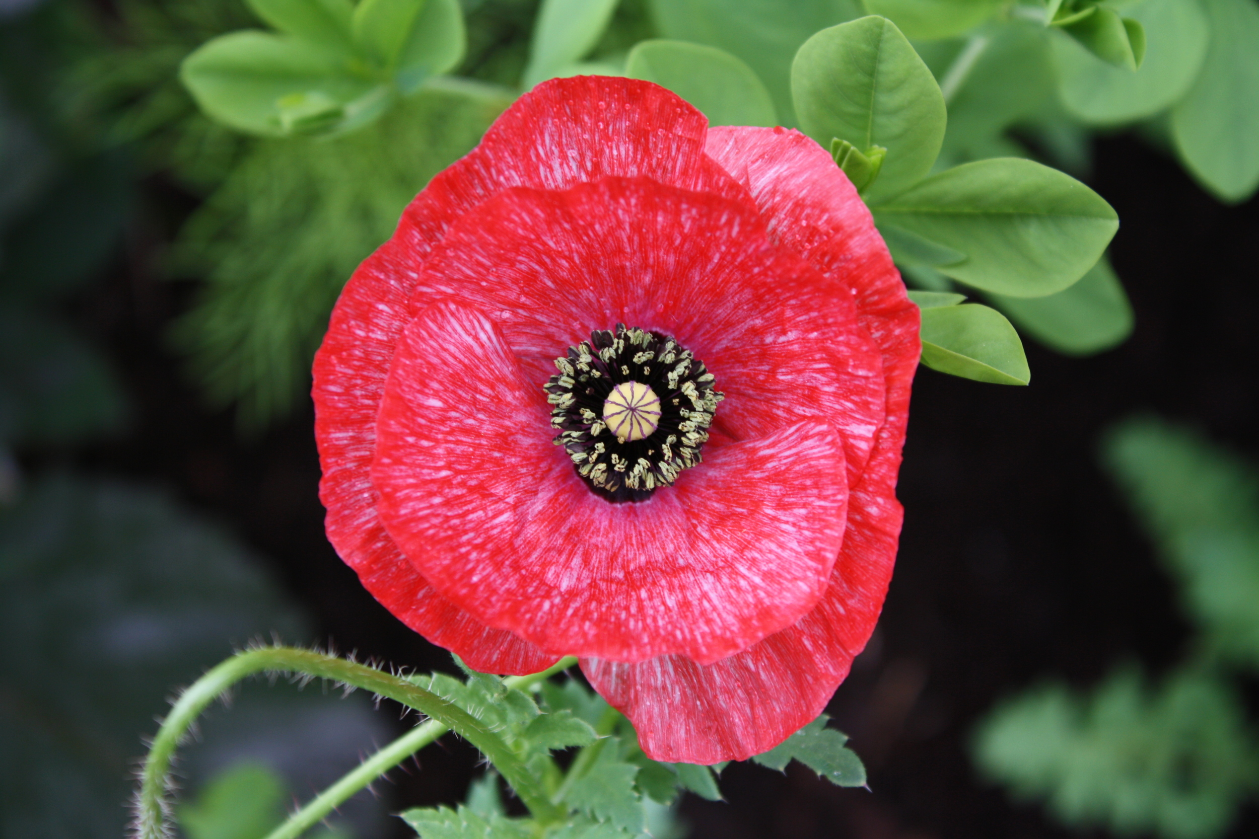 First bloom 'Mother of Pearl' poppies