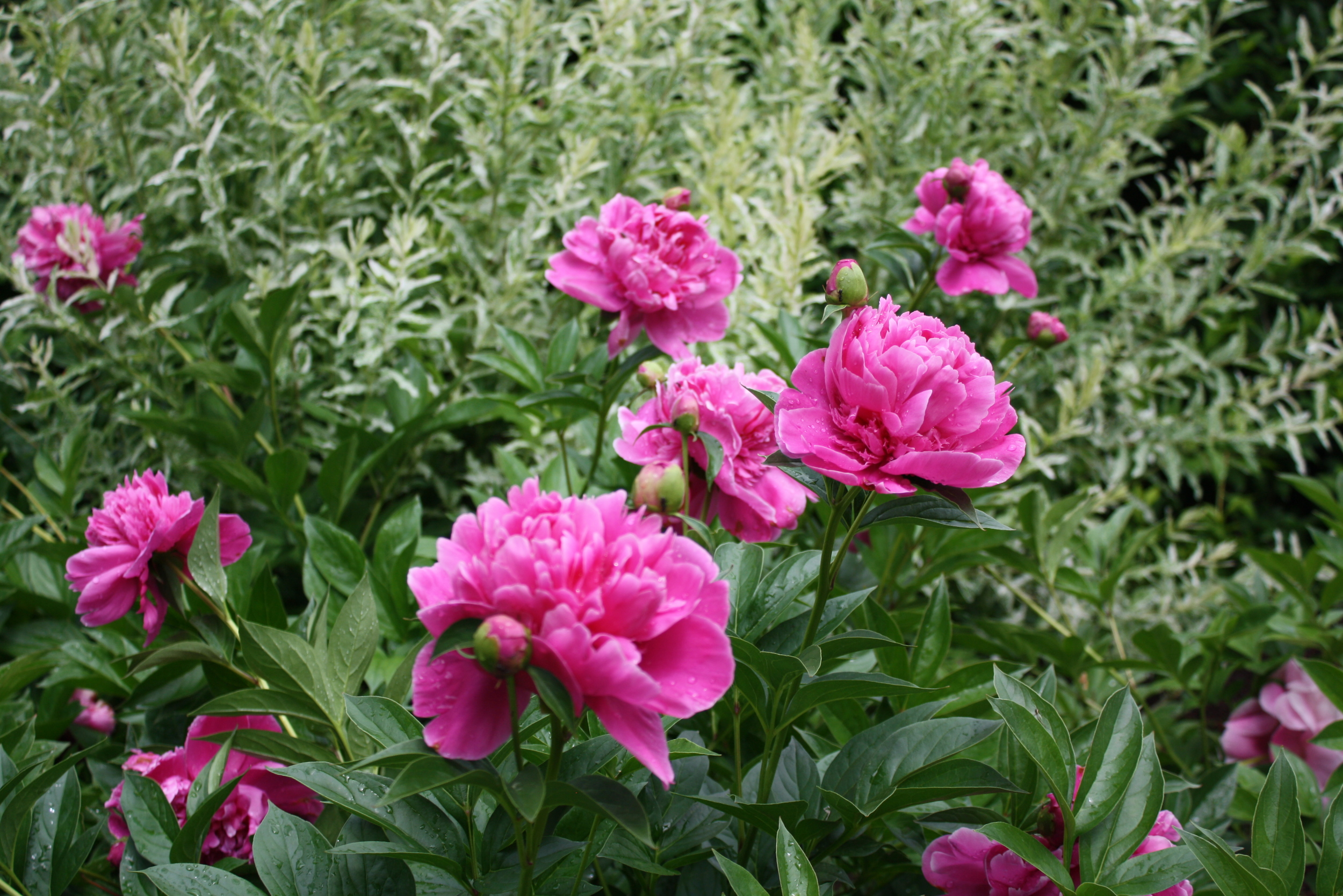 Peonies I divided from the old stand of them we inherited with the house, set off by 'Hakuro Nishiki' Willow behind
