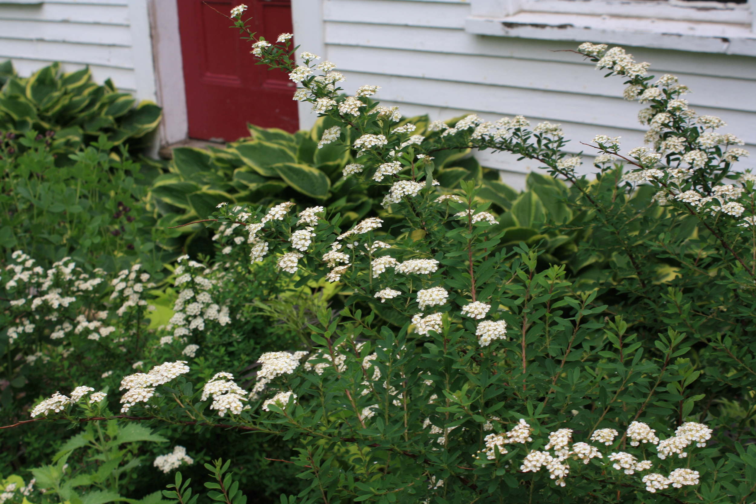 Spirea 'Snowmound' is a smaller variety of bridalwreath that only gets 3' tall