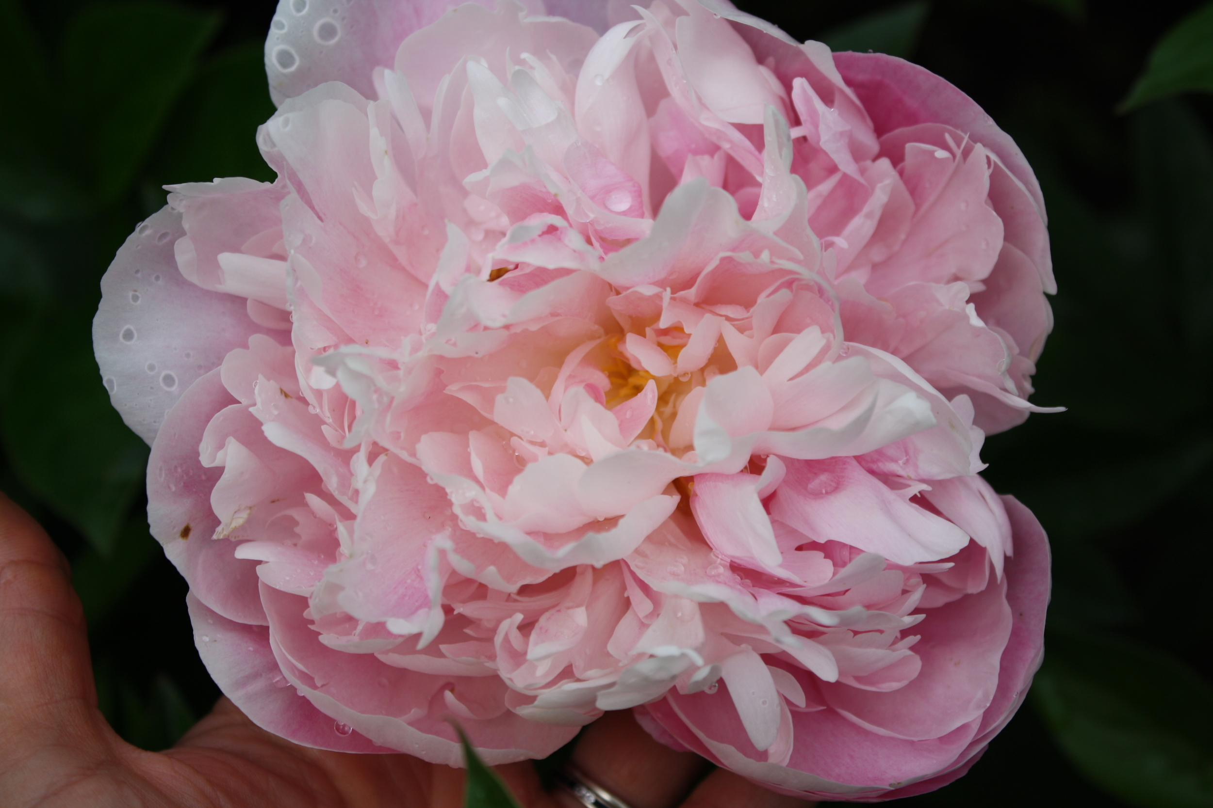 Another gorgeous peony
