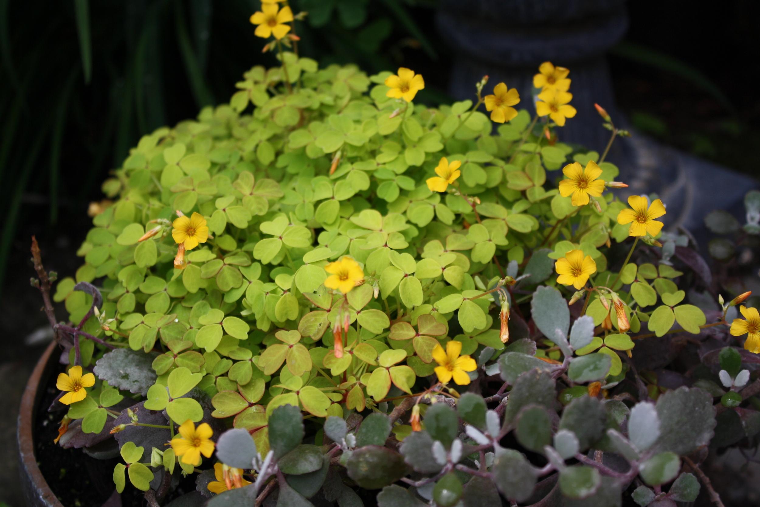 Oxalis 'Molten Lava' blooming