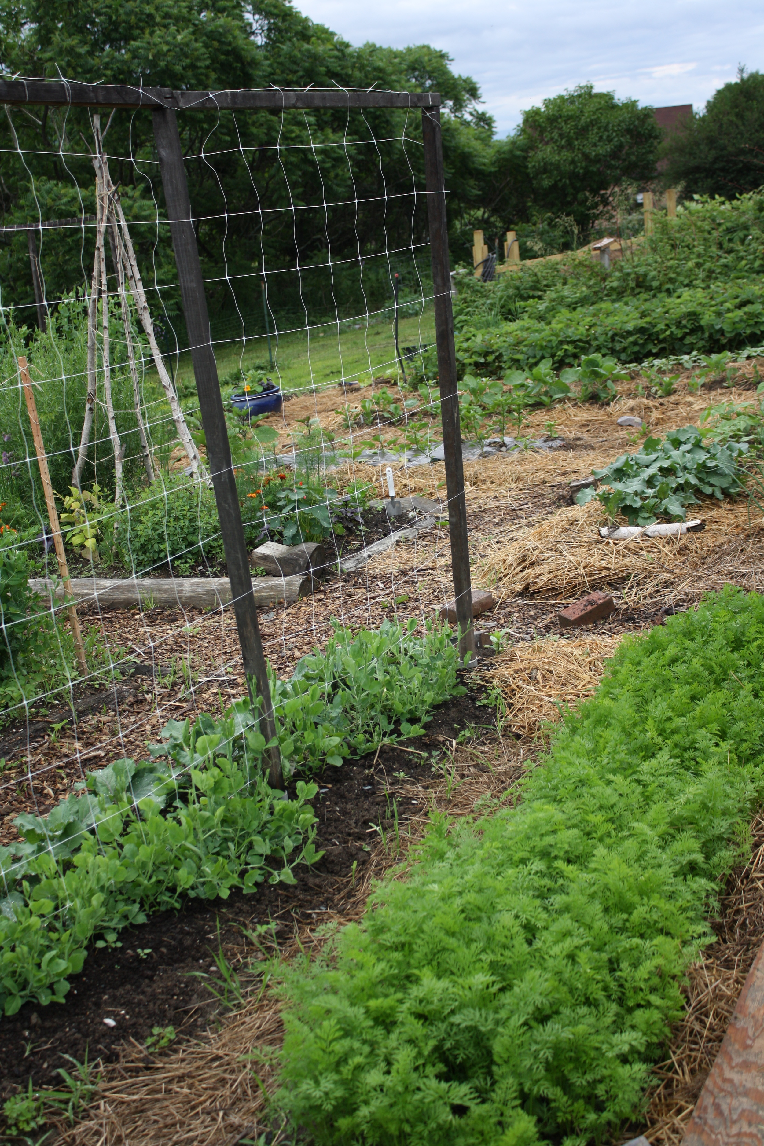 carrots on the right, sweet pea trellis underplanted with savoy cabbage on left