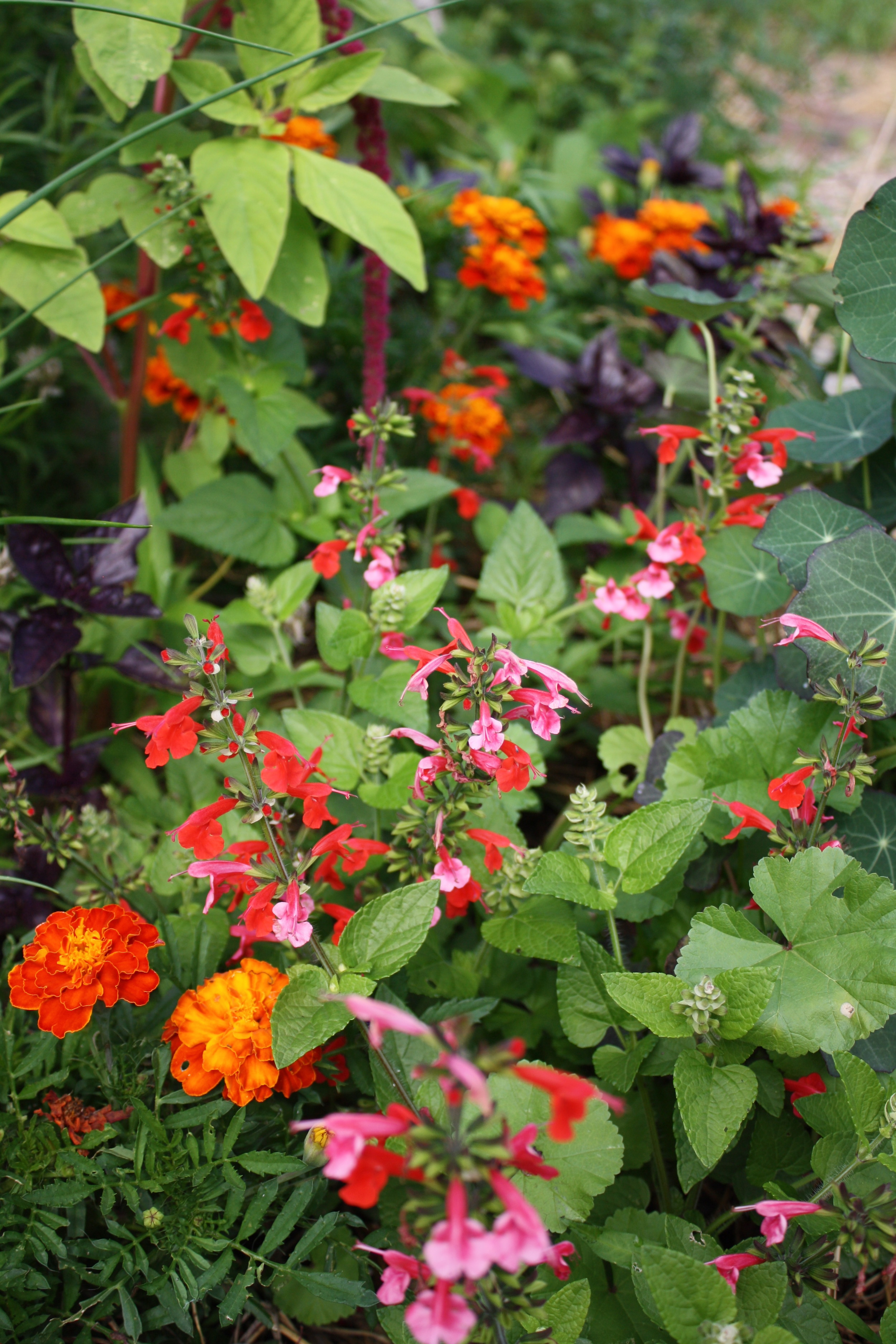 cute dwarf red salvia was new to me this year... all of the other varieties I have grown have been too tall and gangly for this bed. This one is perfect for bedding mixed with marigolds and 'Rosie' Basil