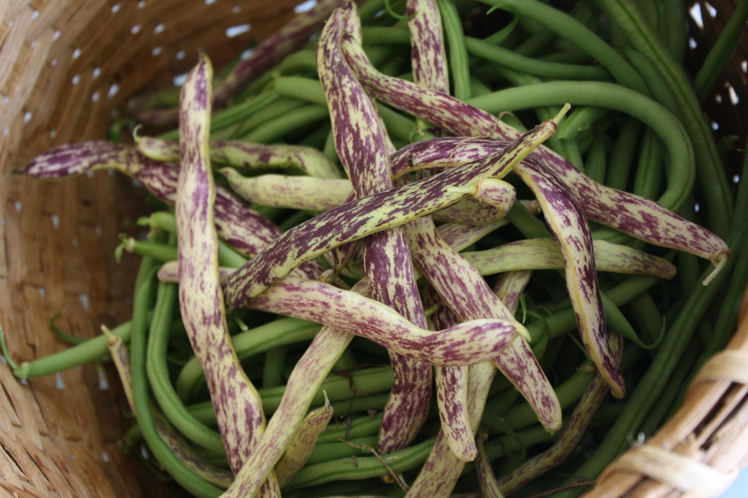 'Calima' and 'Dragon Tongue' bush beans