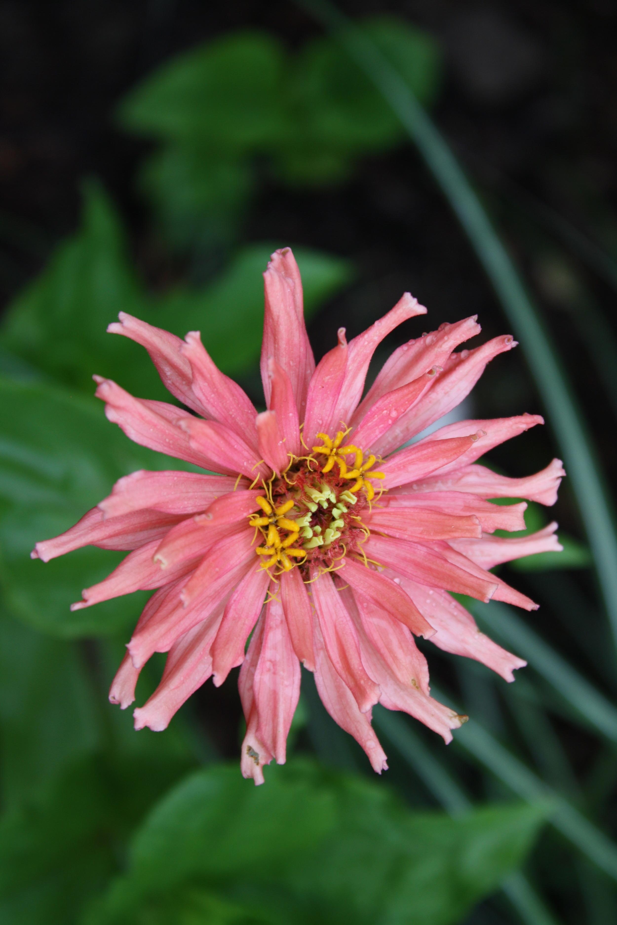 'Pink Senorita' cactus type zinnia